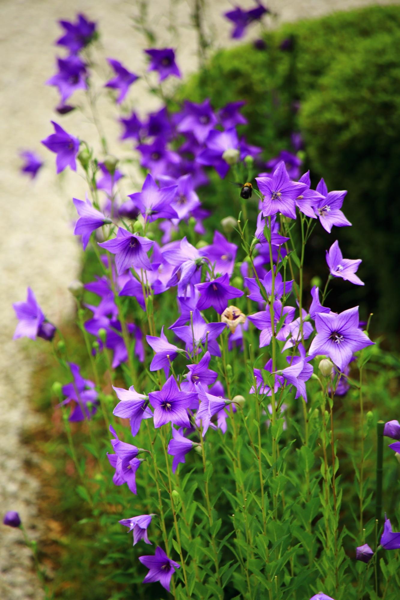 ききょうの花の淡く美しい紫色と蜂