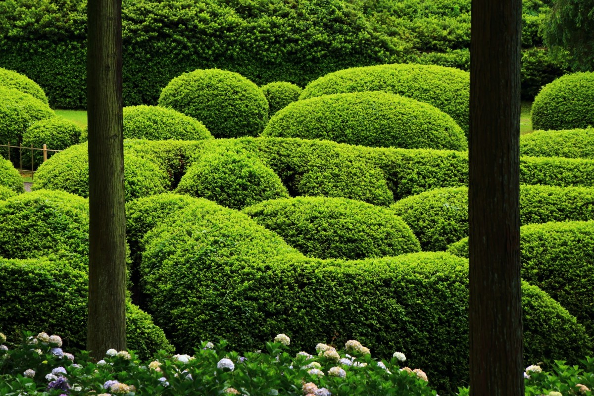 三室戸寺の紫陽花とつつじ園の新緑のツツジ