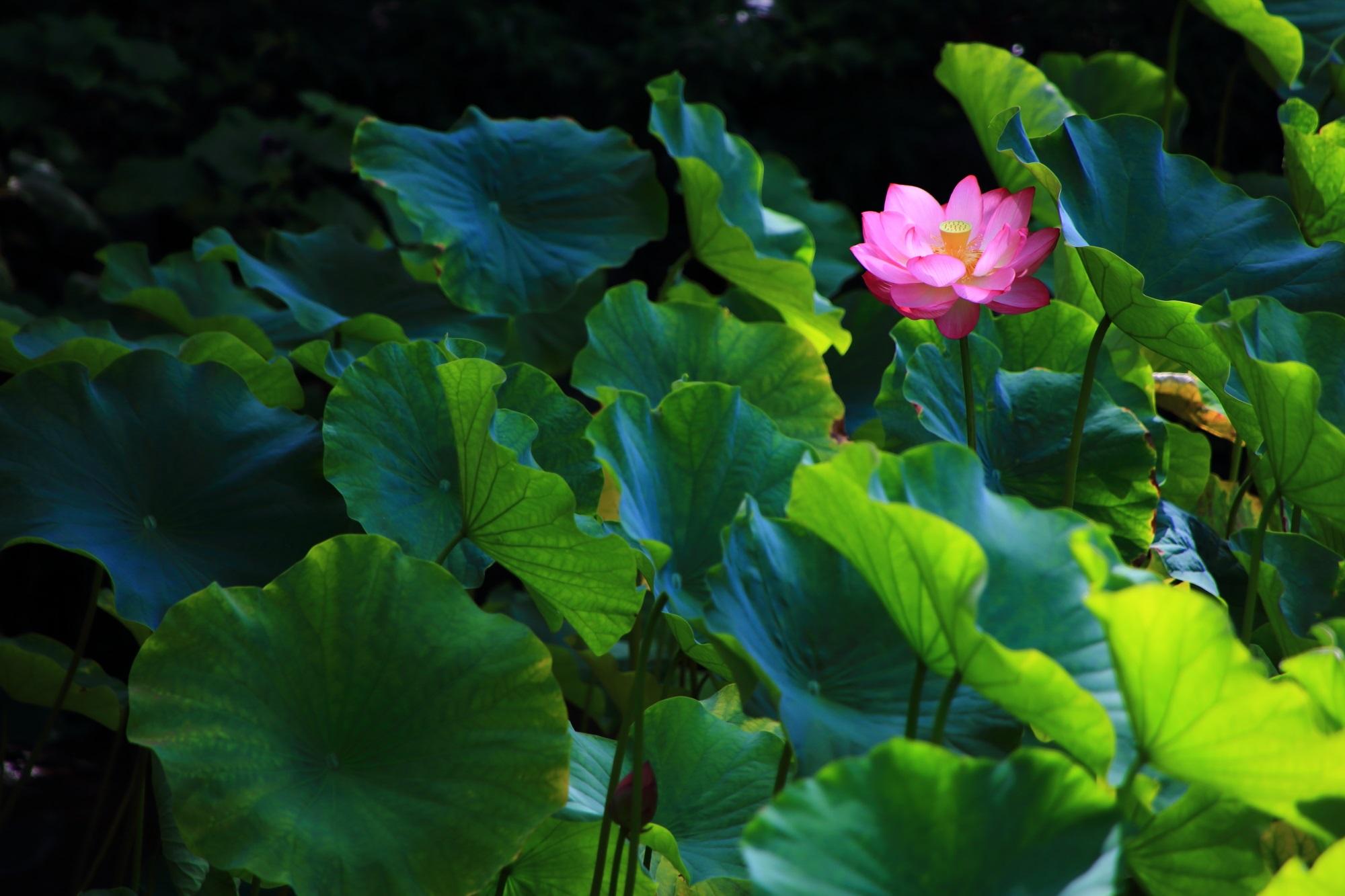 緑の葉の上で揺らめく萬福寺の華やかな蓮の花