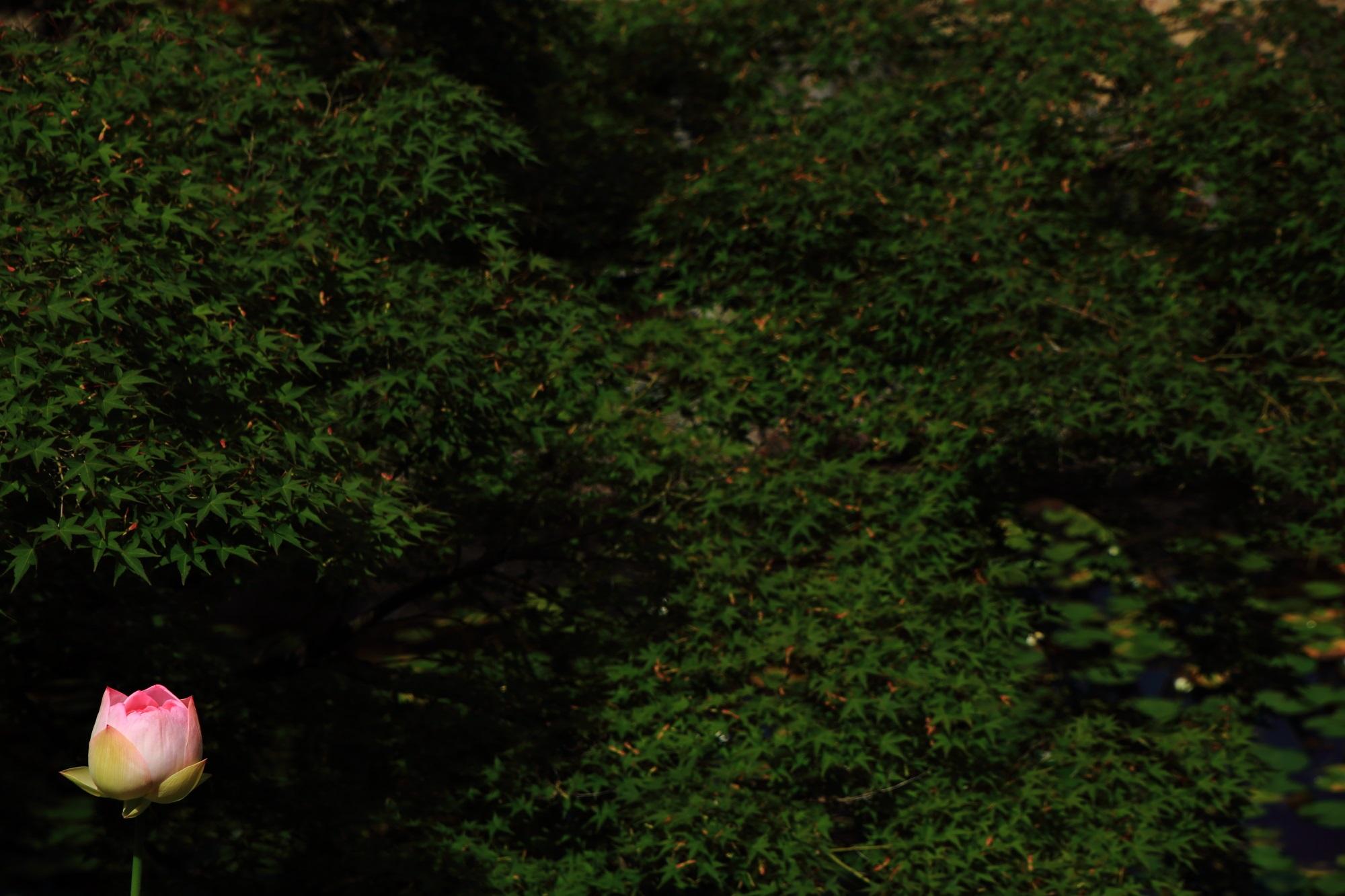 緑の波の中で咲いているような萬福寺のピンクの蓮の花