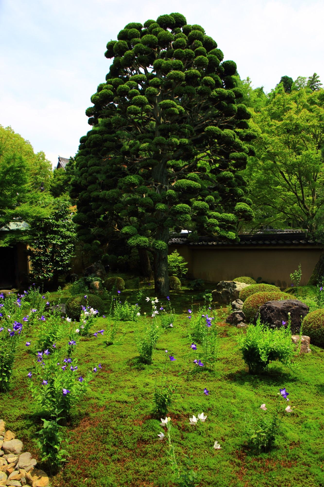東福寺天得院のモコモコの可愛い松と華やかな桔梗の花