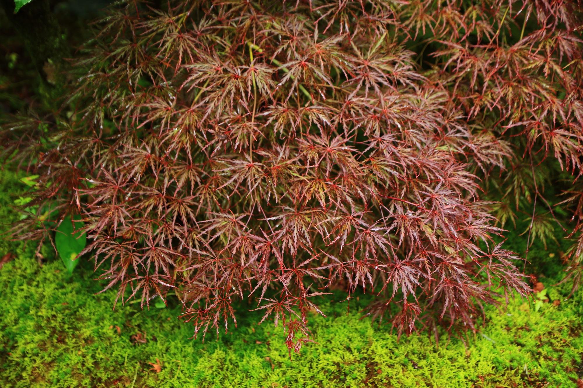 三室戸寺の三重塔付近の雨で潤った絶品のもみじと苔