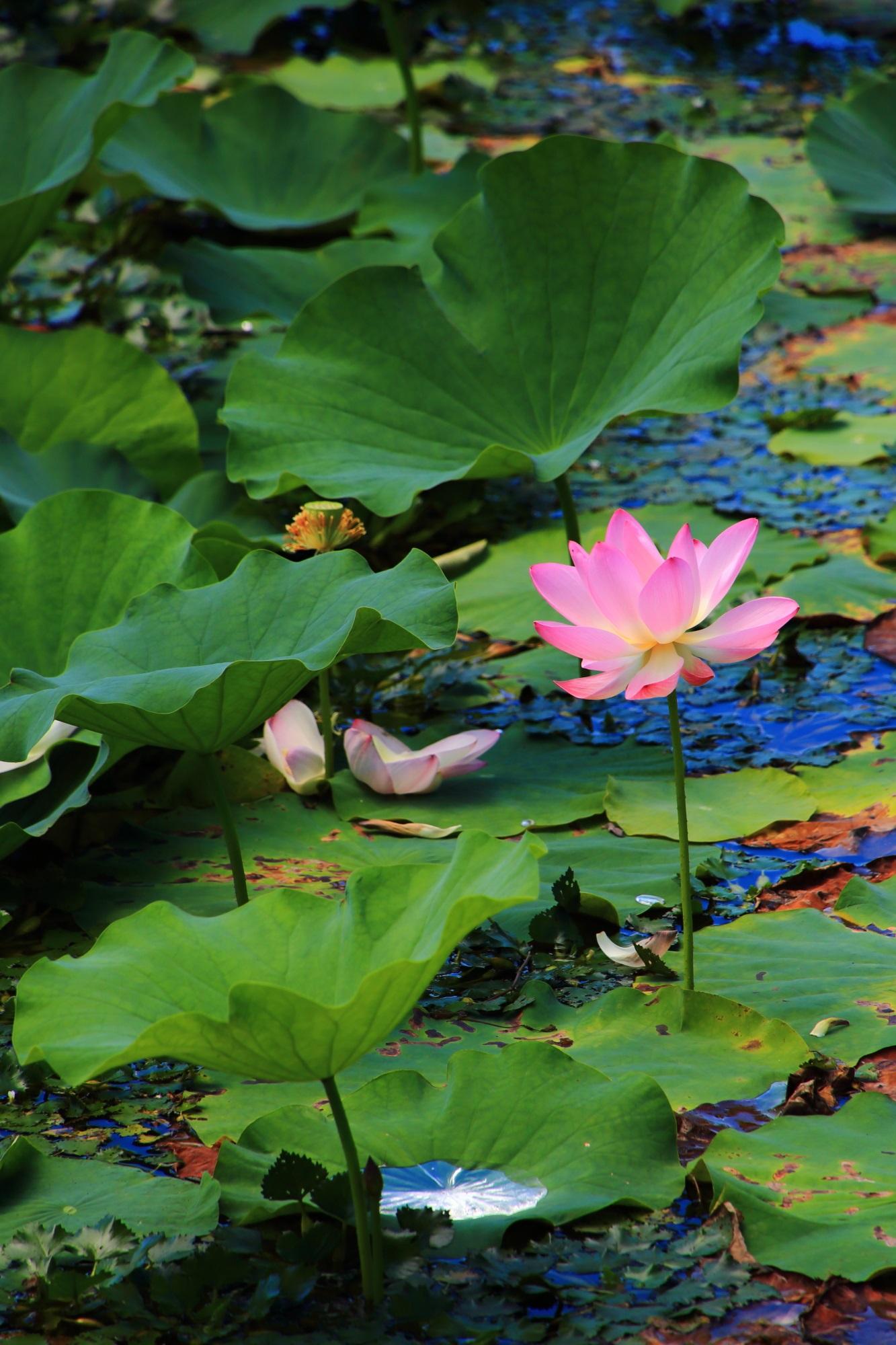 大覚寺の大沢池の趣きある咲き誇る花と散った花と葉に溜まる水