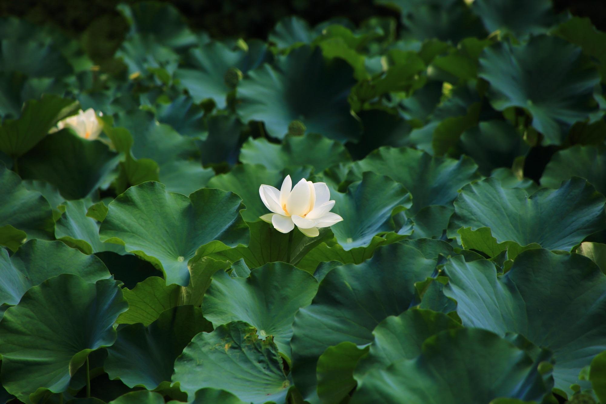 深い緑の中で浮かび上がるような淡く白い蓮の花