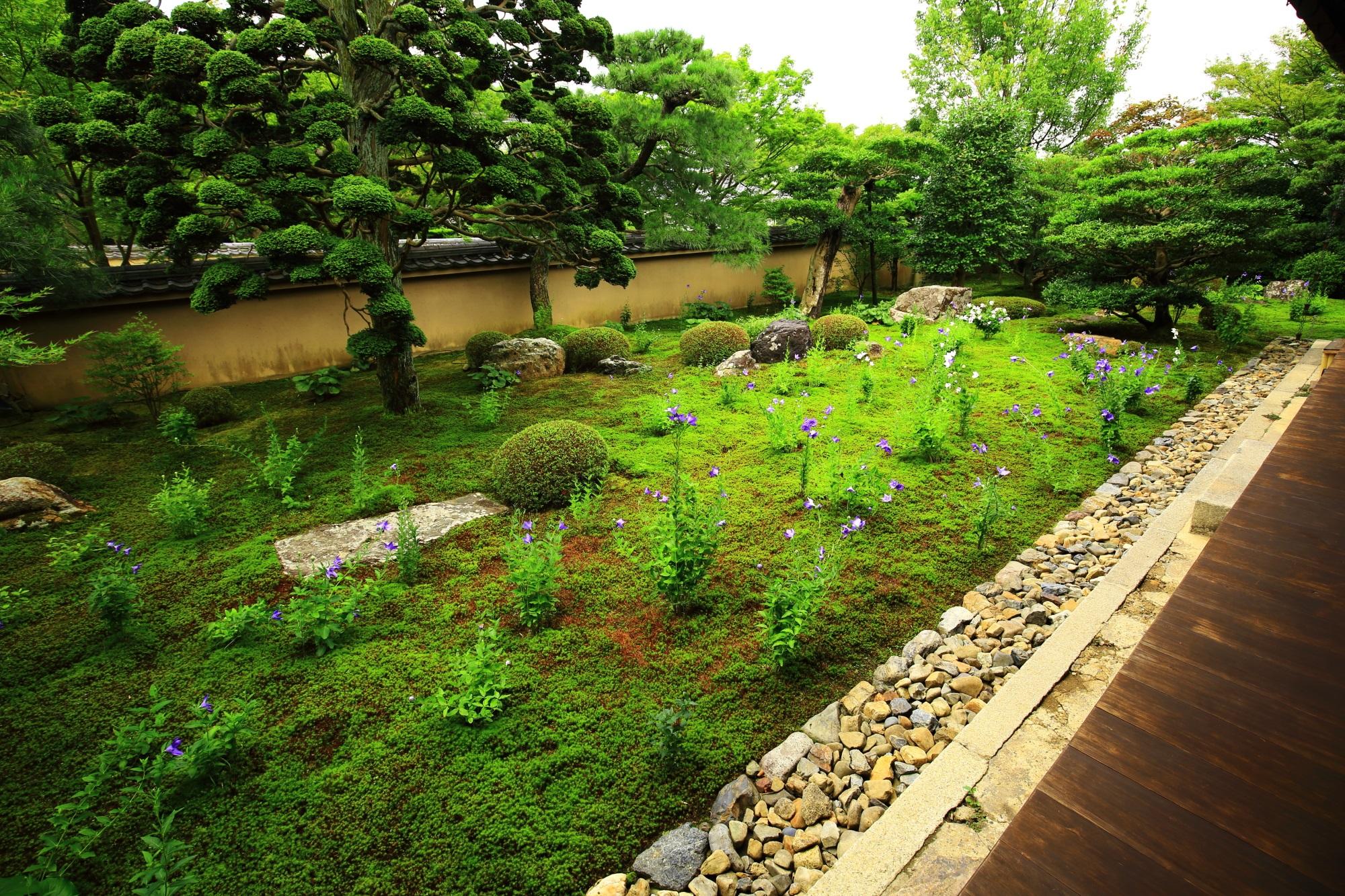 天得院の桔梗(ききょう)と苔の枯山水庭園