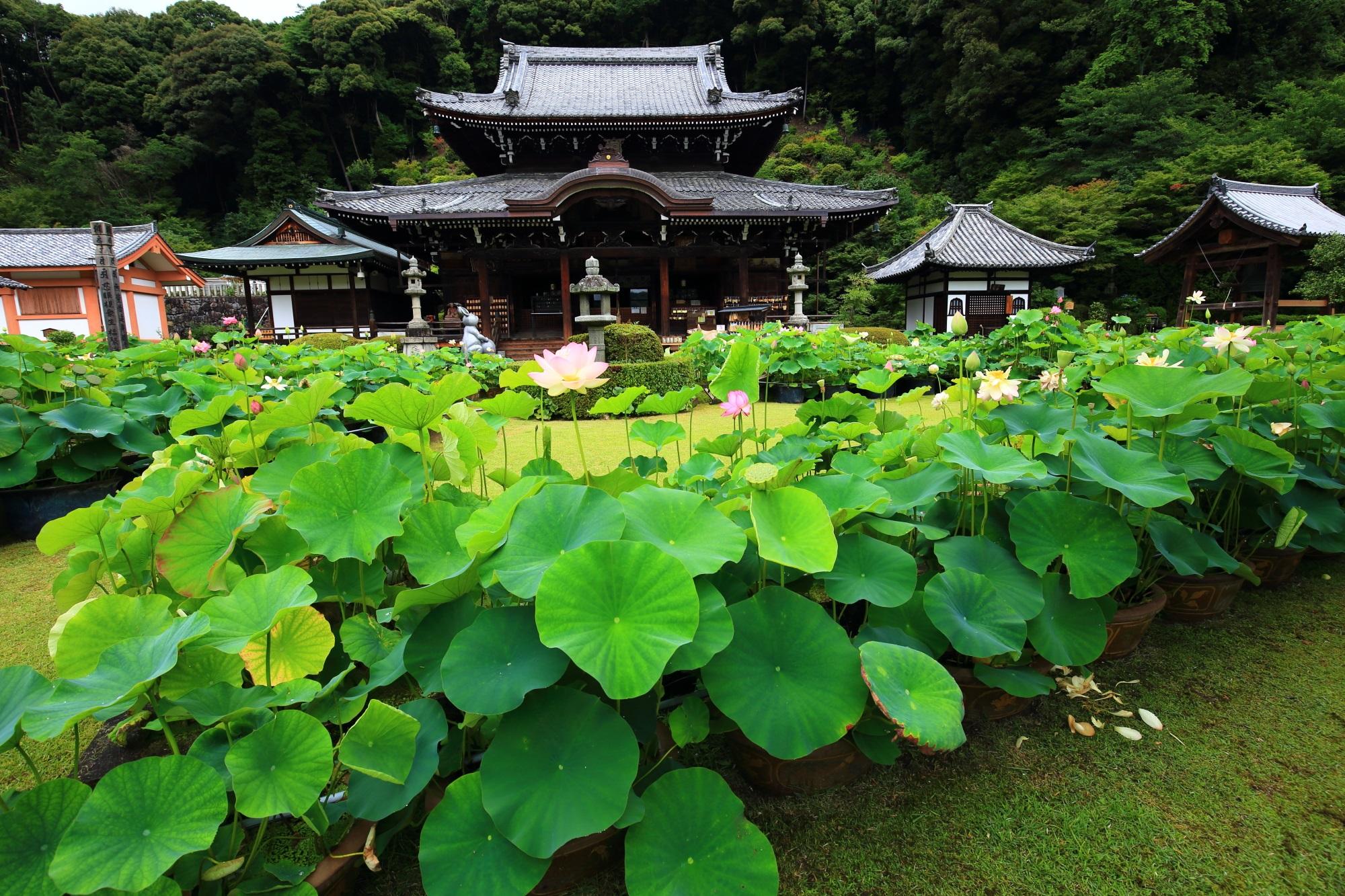 三室戸寺の素晴らしい蓮や青もみじと初夏の情景