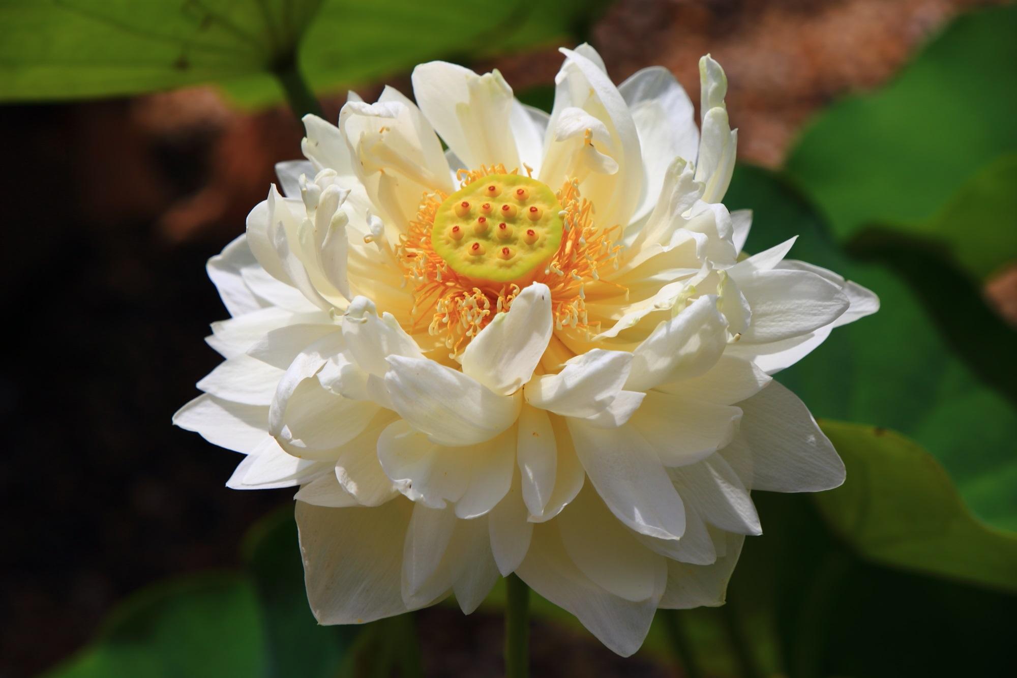 午後には閉じてしまうため午前中が見ごろの蓮の花