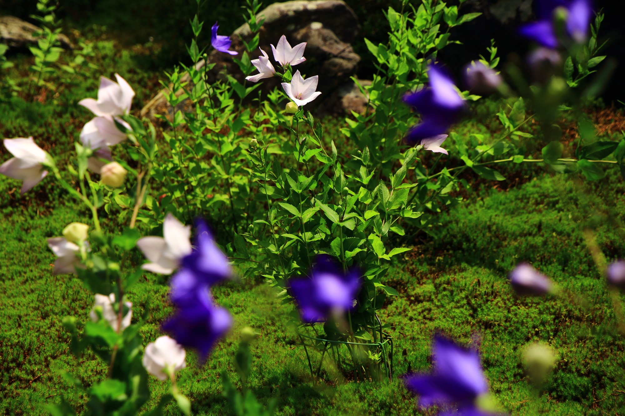 緑の上で揺らめく天得院の白と紫の桔梗