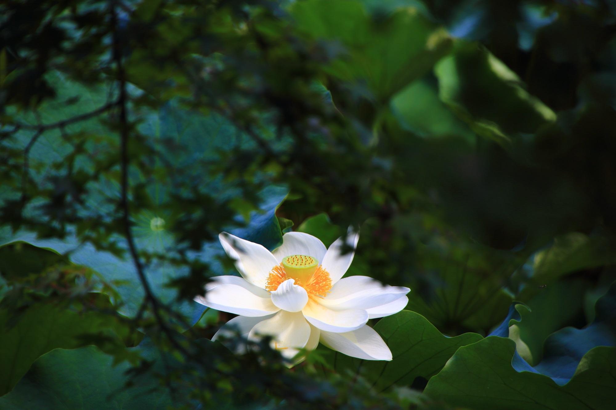 青もみじの間からのぞく大沢池の華やかな白い蓮の花