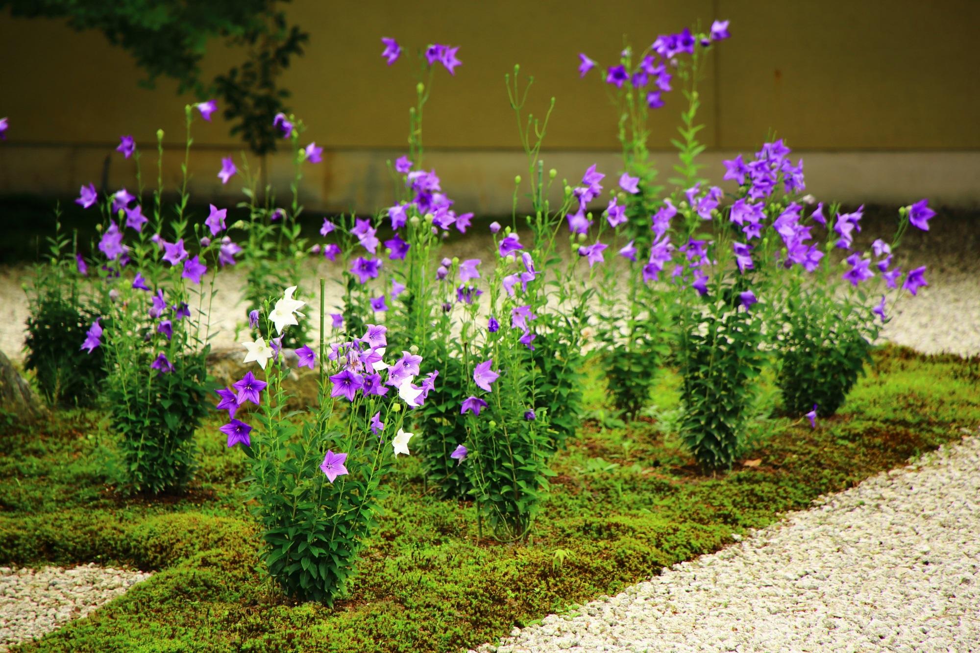 紫の中にちらほら見受けられる廬山寺の白い桔梗の花