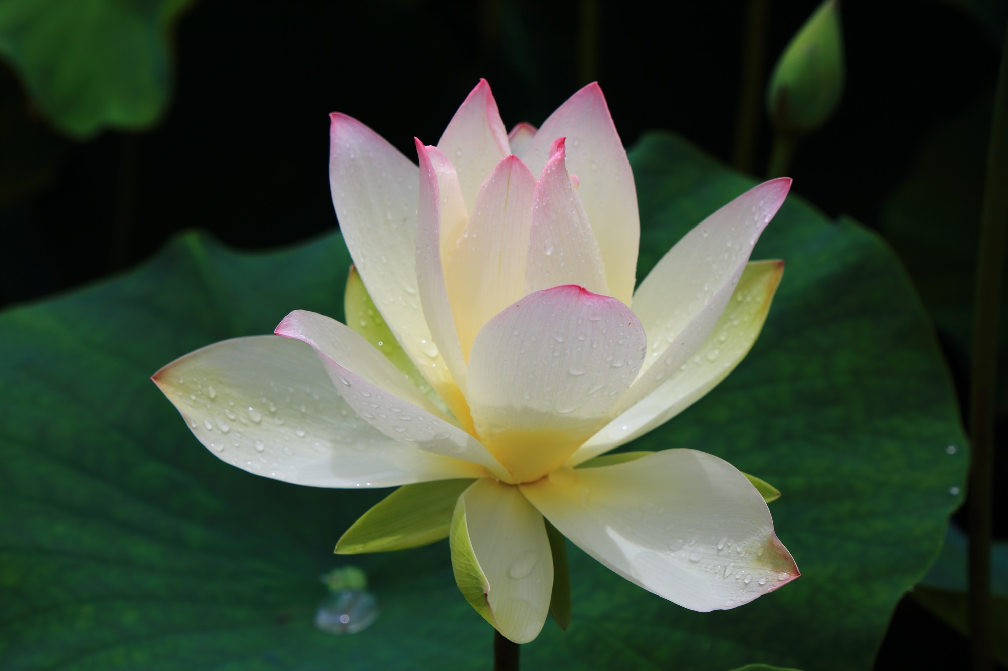 三室戸寺のほのかに光るような上品な蓮の花