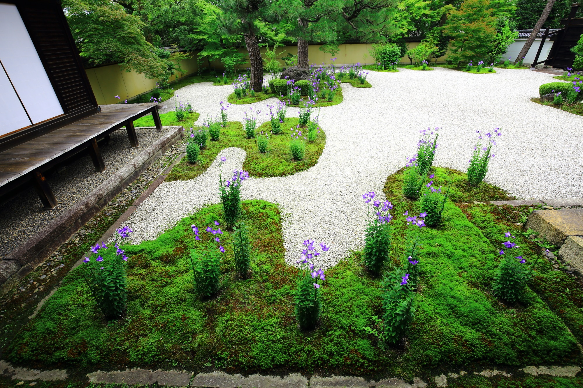 桔梗の花とともに美しい絶品の鮮やかな緑の苔