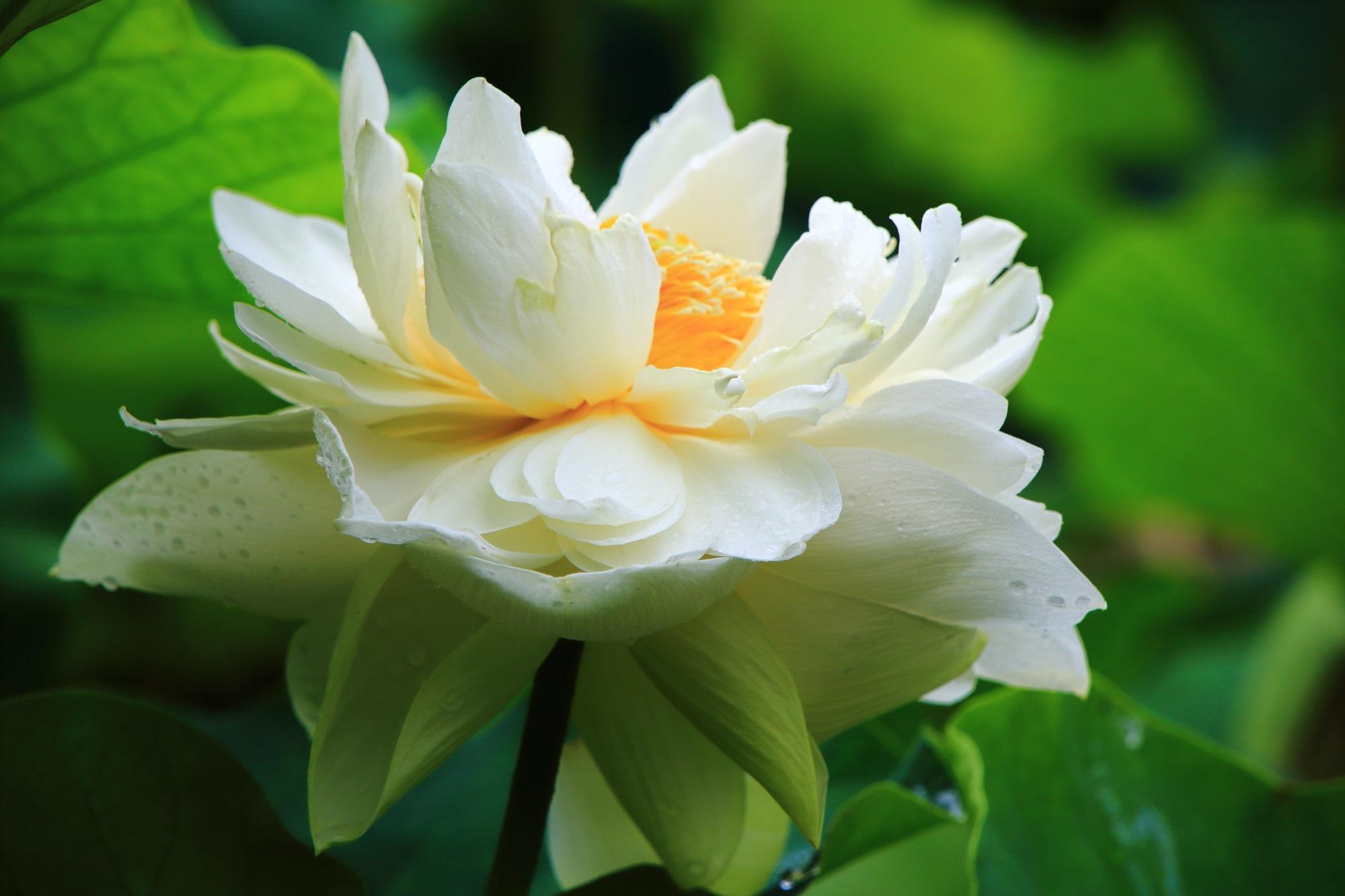 三室戸寺の花びらが溢れんばかりに咲き誇る白い蓮の花
