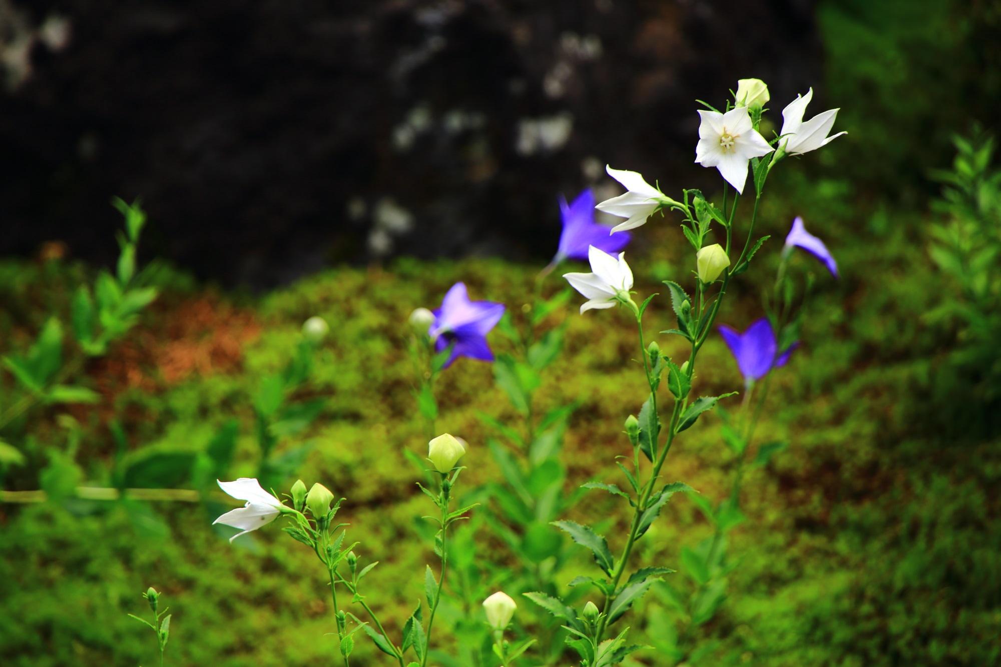 しっとりとした落ち着きのある天得院の白いききょうの花