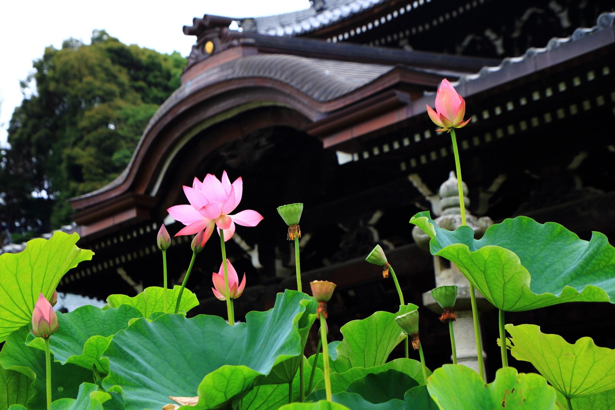 三室戸寺の本堂を背景にした絵になるピンクの蓮の花