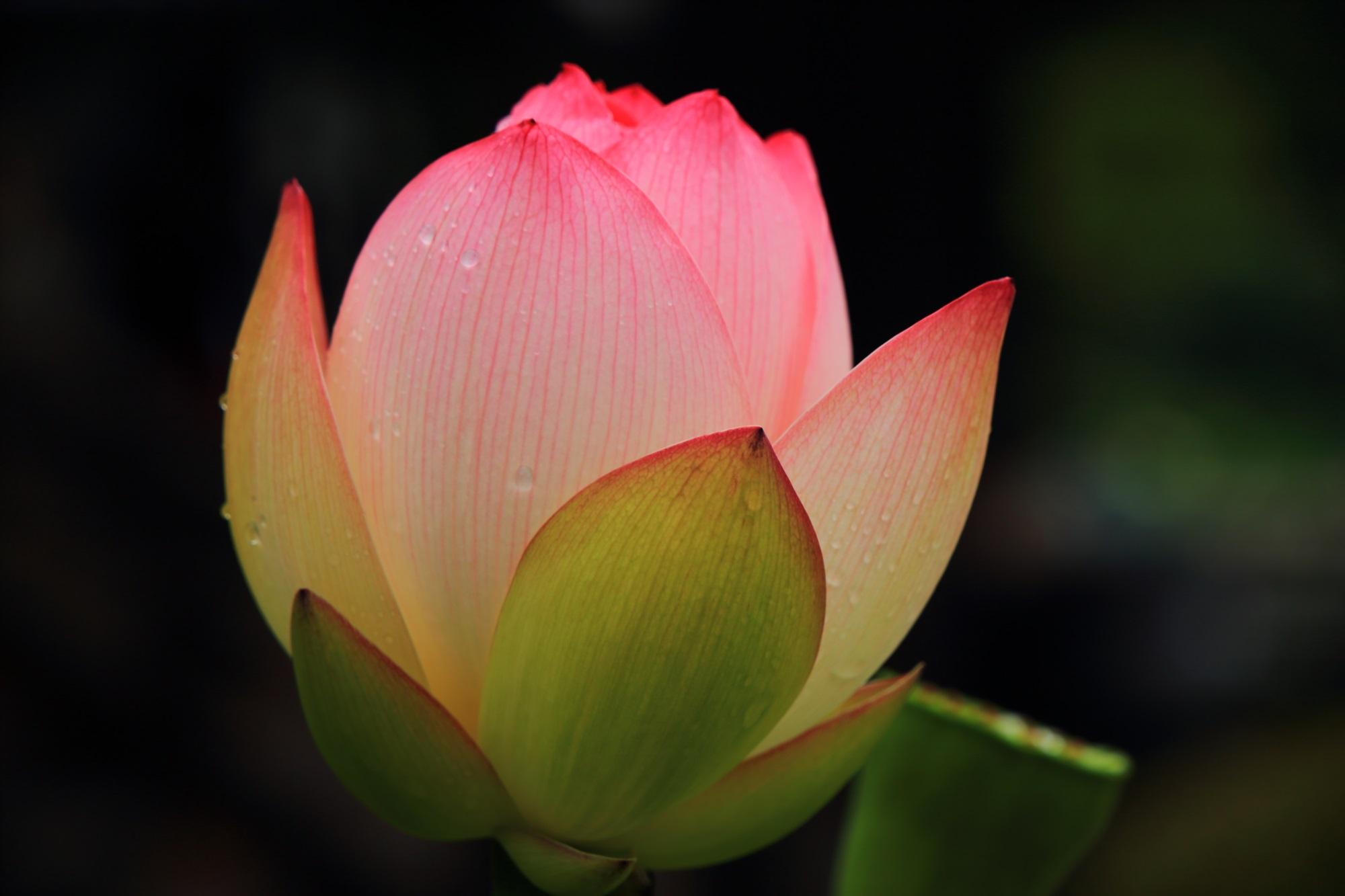 暖かい感じがする三室戸寺のほのかに灯るようなハスの花
