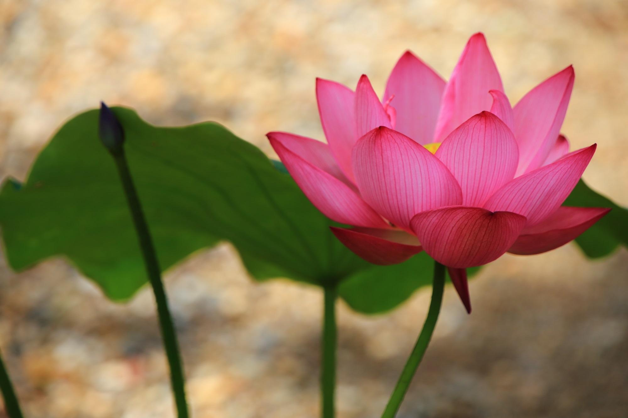 萬福寺の天王殿前の見ごろの蓮(はす)