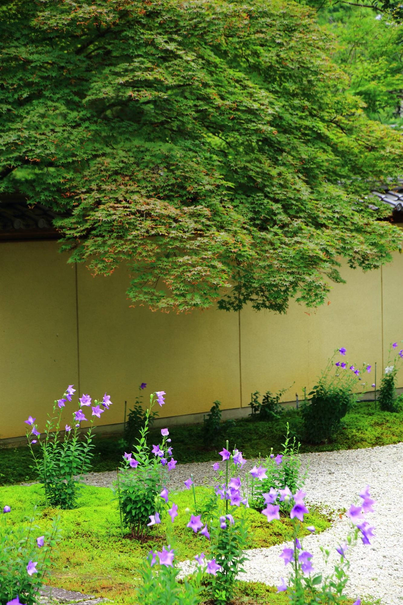 土塀を乗り越えて源氏庭にせり出す豪快な青もみじと桔梗の花