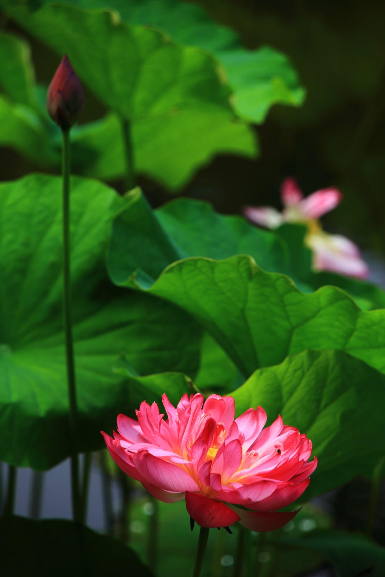 勧修寺の目を引くような鮮やかな色合いの見事な蓮の花
