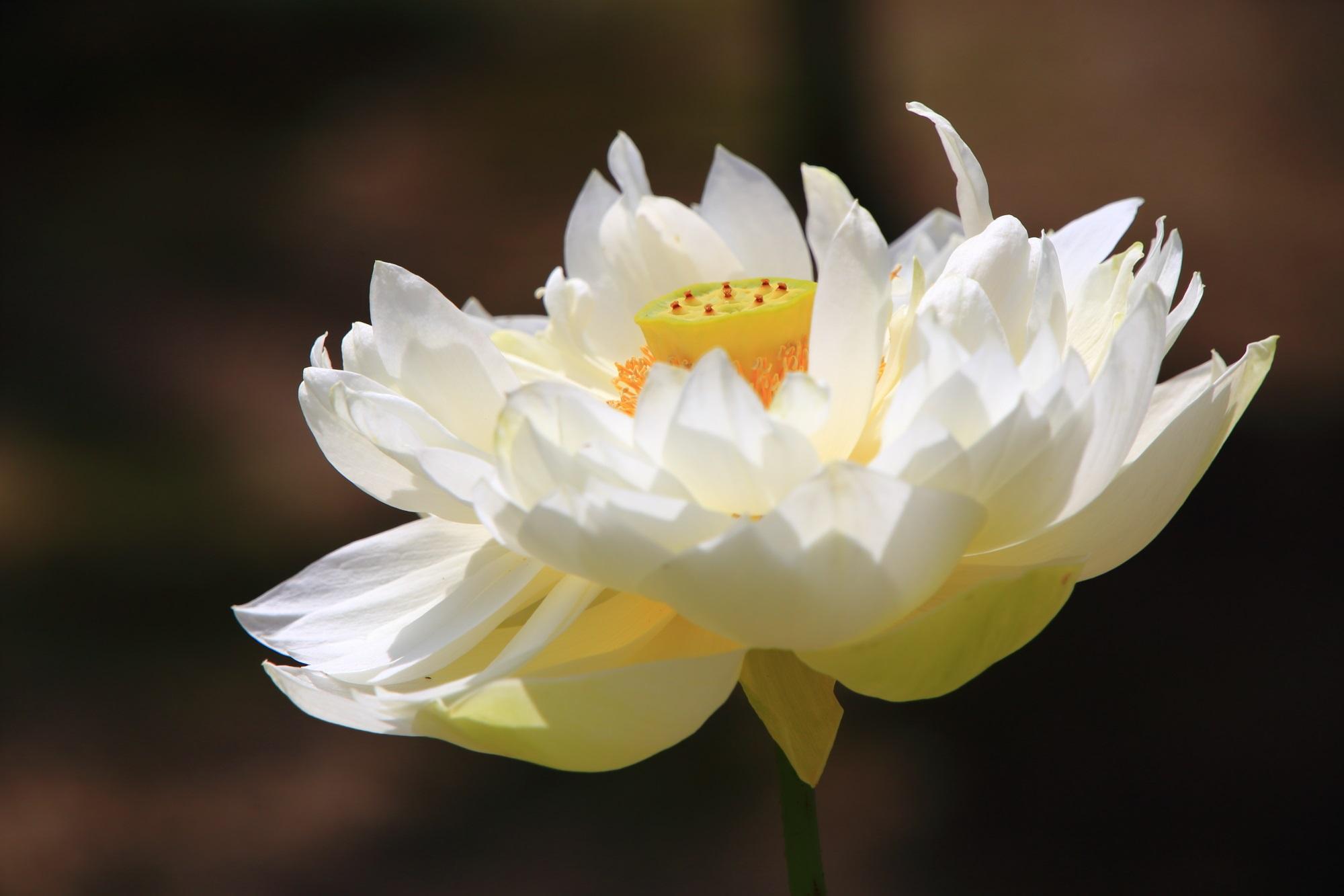 黄檗山萬福寺の花びらをいっぱいつけた爽やかな白い蓮の花
