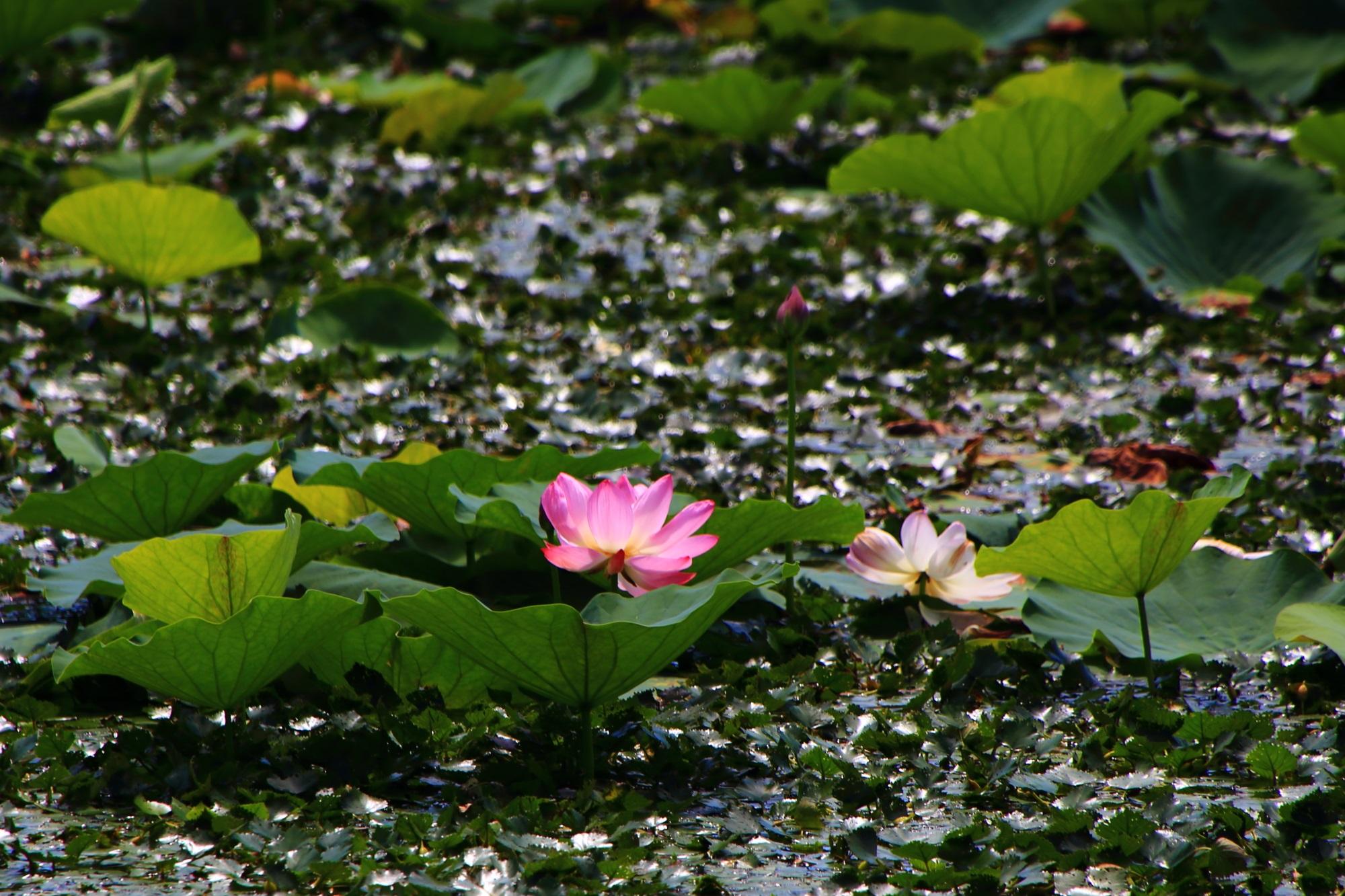 大沢池の太陽を浴びて煌く浮き草と蓮の花
