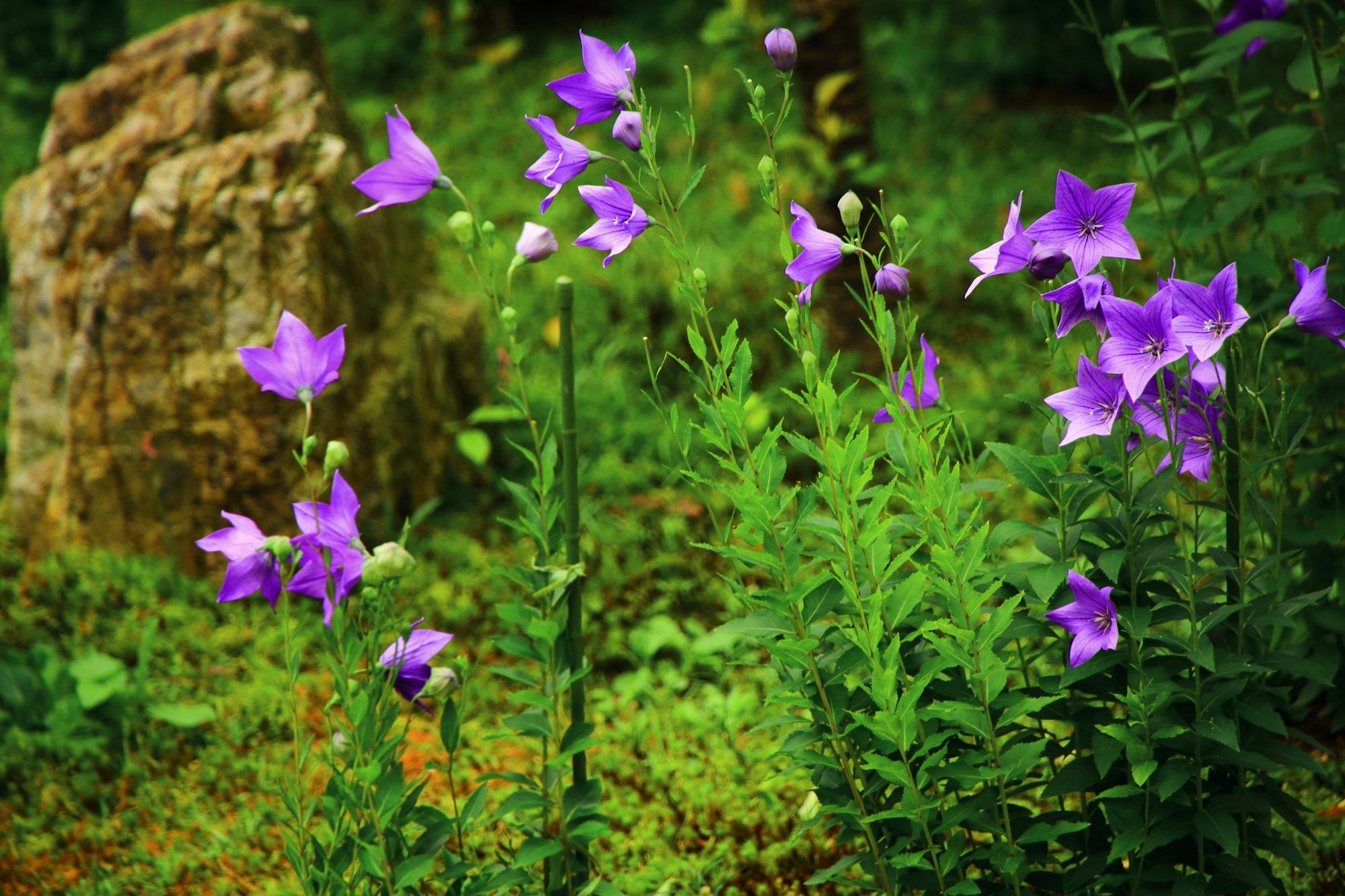 華やかさの中にも風情が感じられる桔梗の花