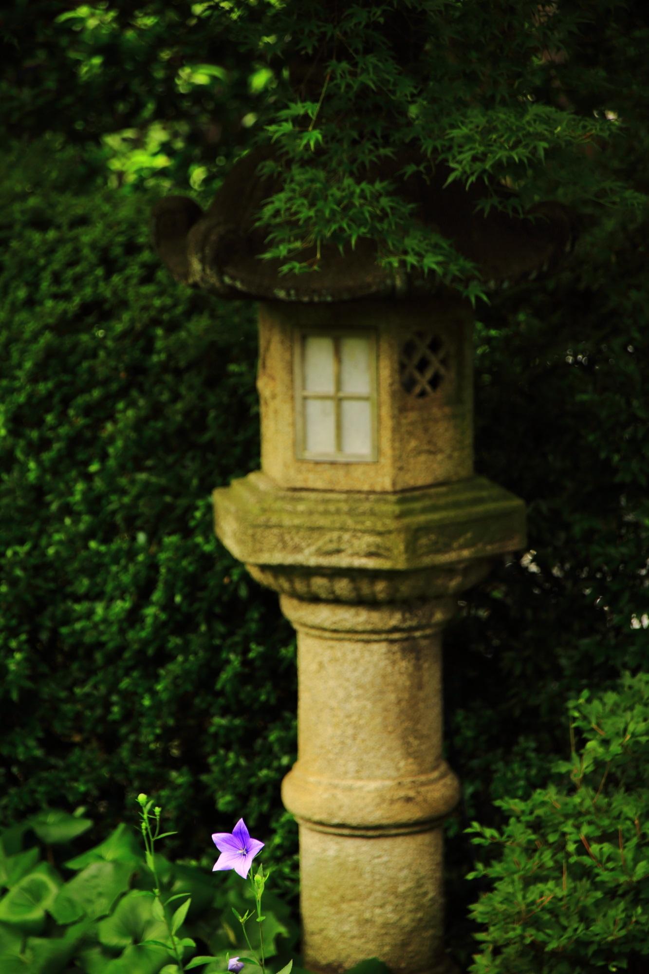 灯籠と青もみじの下で控えめに咲く桔梗の花