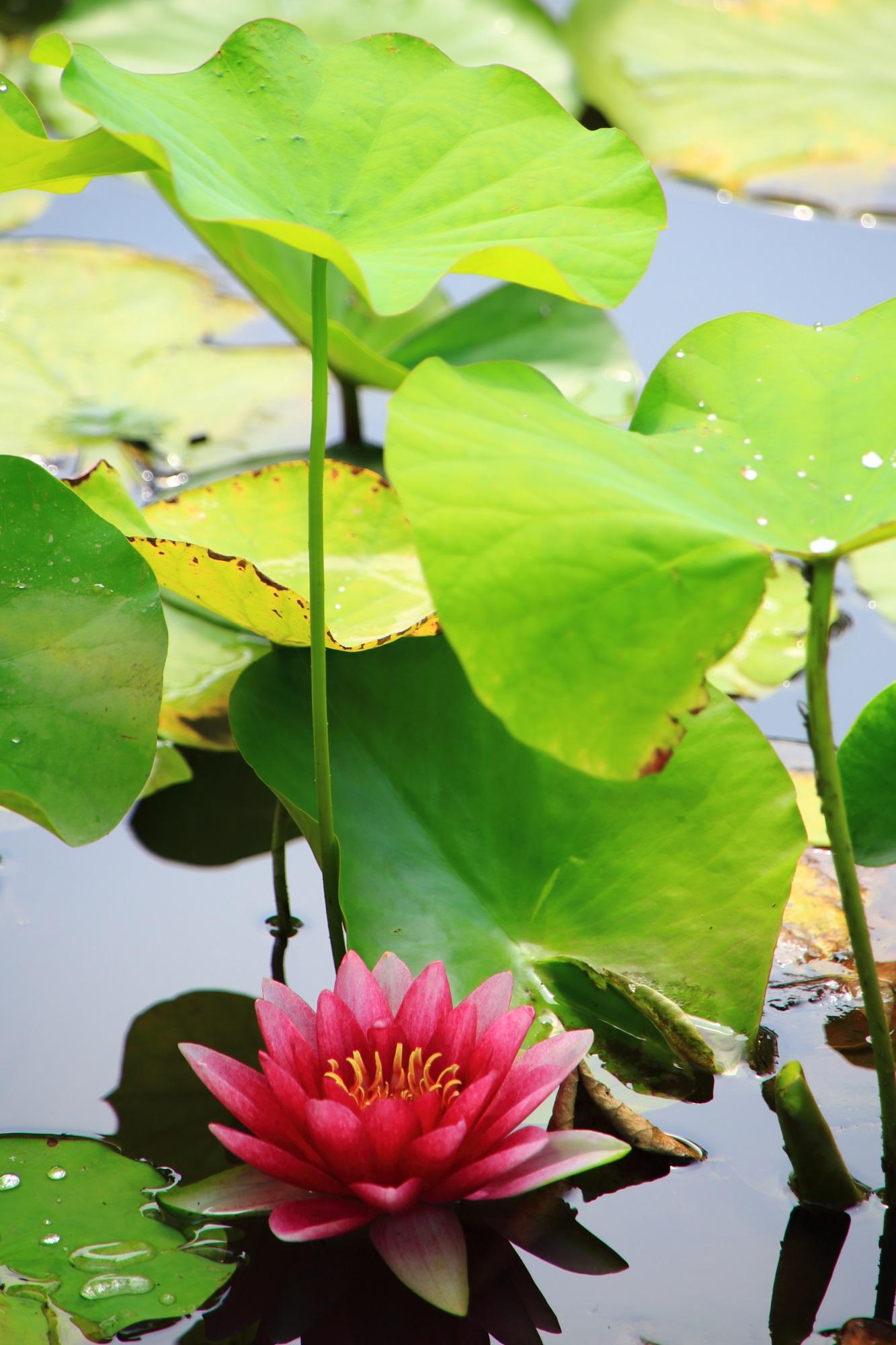 緑の葉の傘をさしたような鮮やかな睡蓮