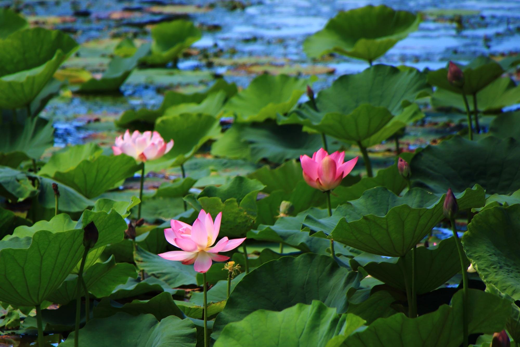 大沢池北西側の蓮の花