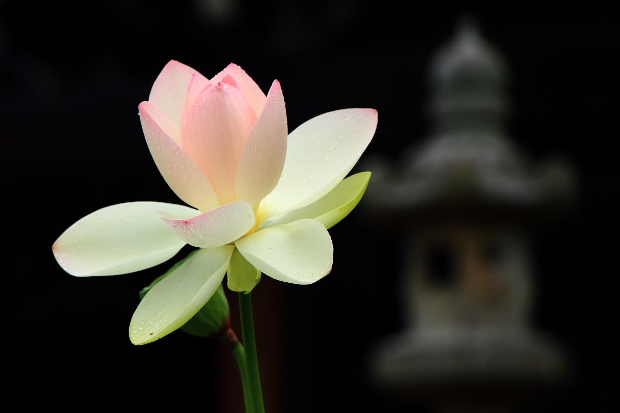 ほのかなピンクが入った優しい感じの蓮の花と灯籠