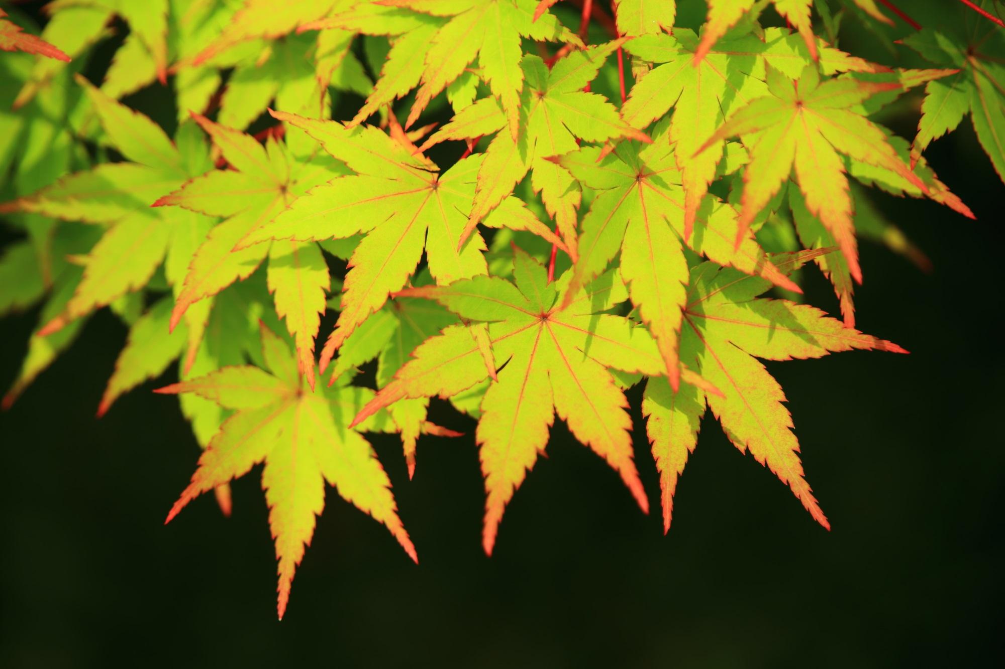 葉先の赤が彩りとアクセントをつける綺麗な青もみじ