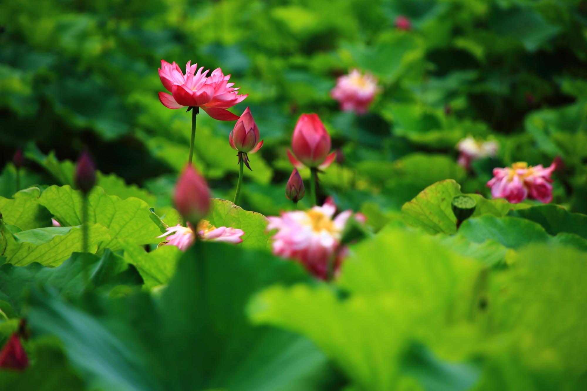 氷室池の緑の中で輝くピンクの蓮の花