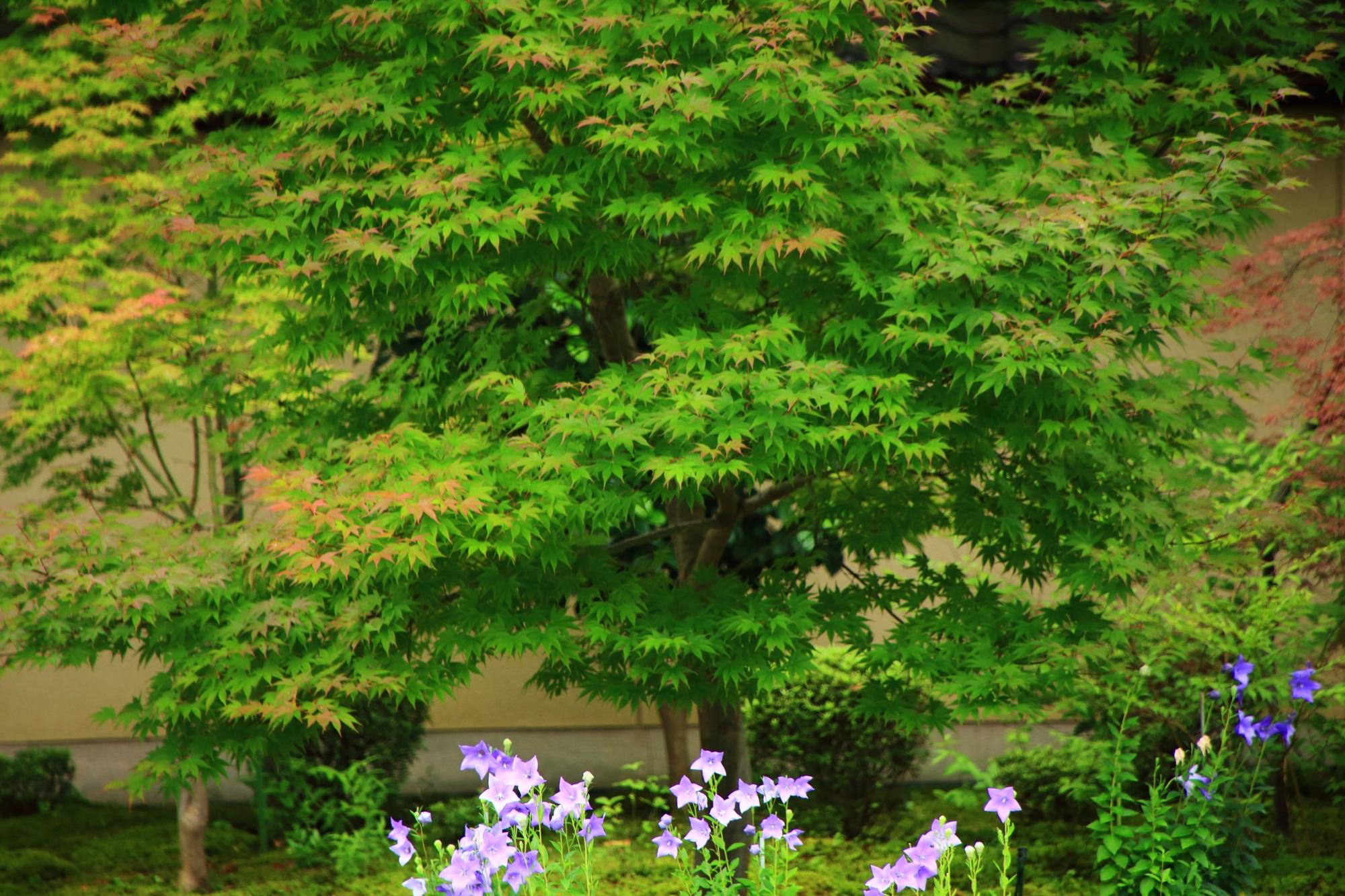 青もみじの鮮やかな緑に彩りを添える桔梗の花