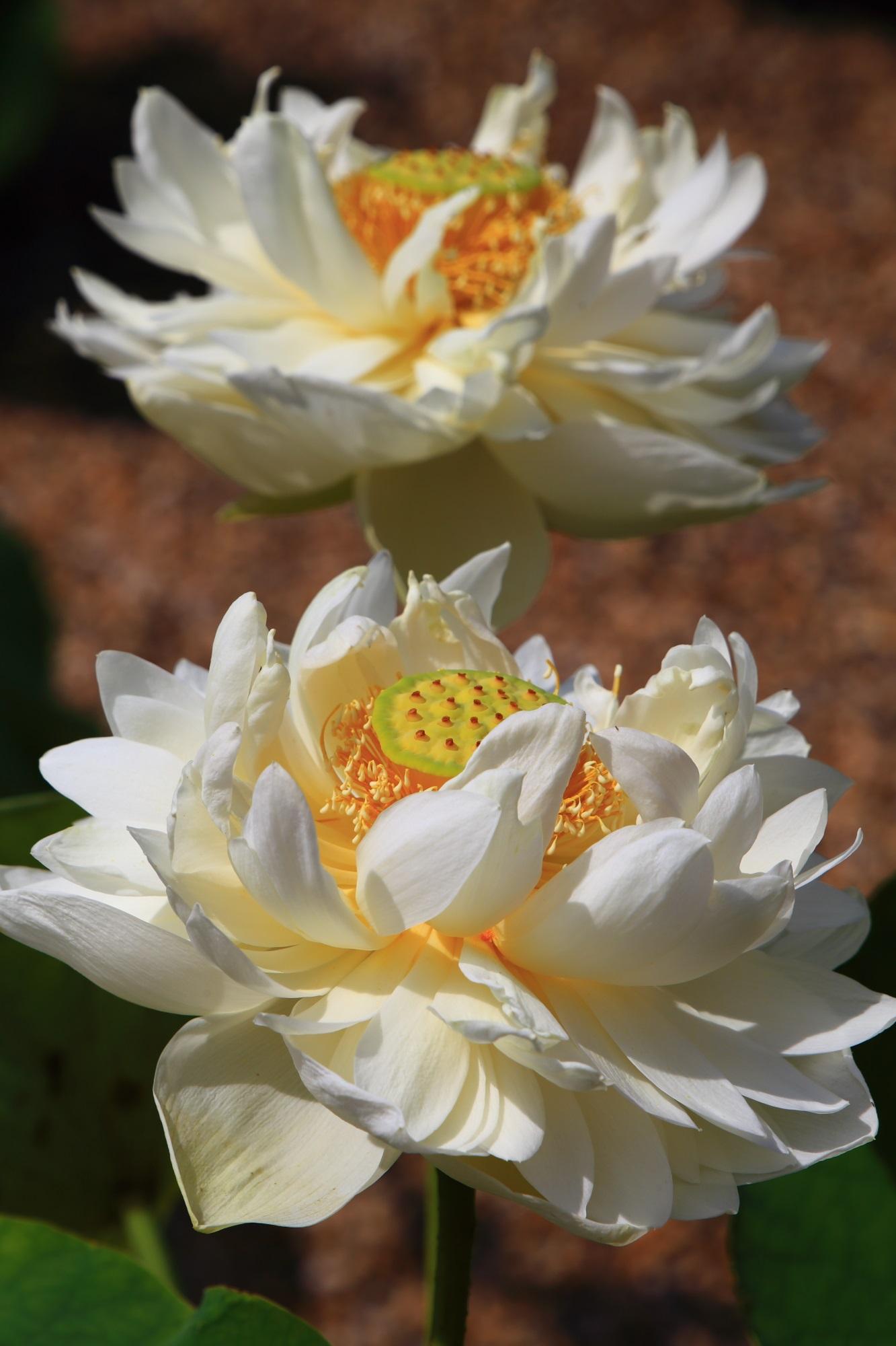 萬福寺の真っ白な花びらが溢れ出す豪快な蓮の花
