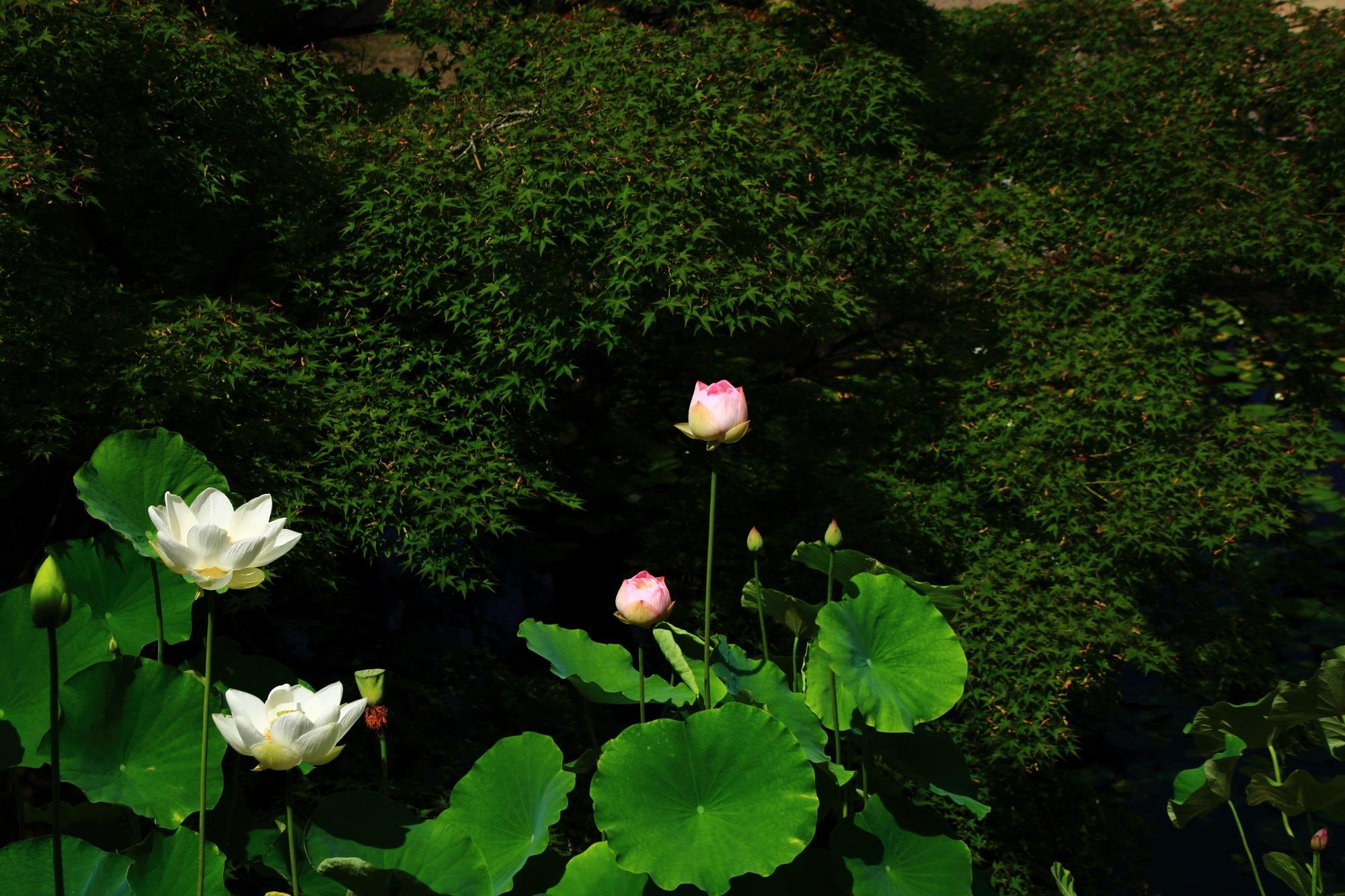 青もみじの深い緑と蓮の葉の鮮やかな緑に映える萬福寺の煌く蓮の花