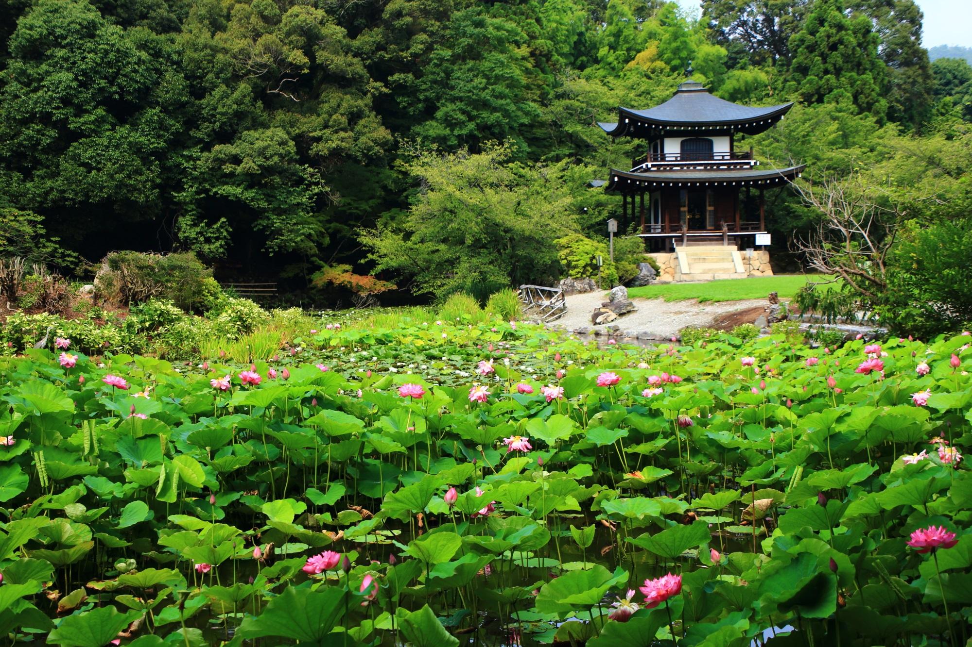 勧修寺 蓮 氷室池の華やかな彩りと溢れる青もみじ