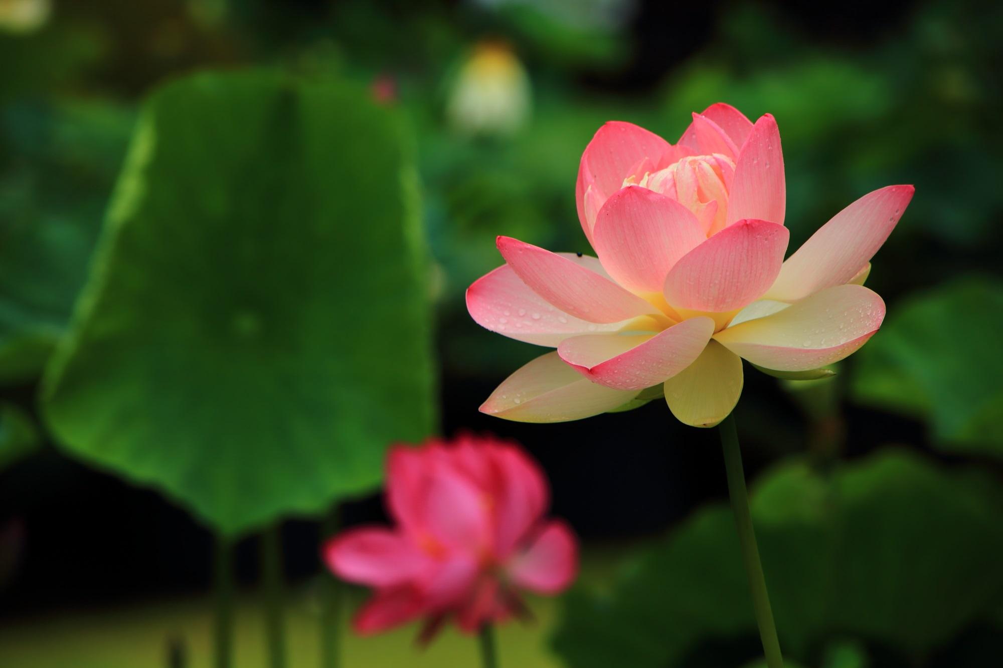 三室戸寺 蓮 花の寺の絶品のハスと青もみじと庭園