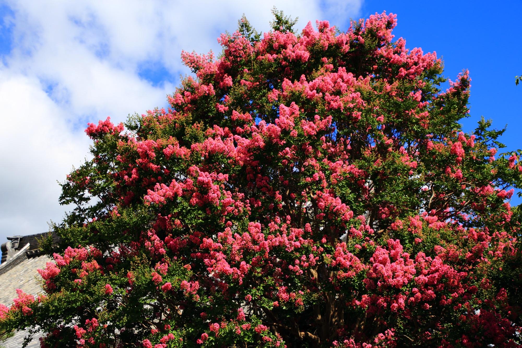 百日紅の木から溢れ出す輝くピンクの花