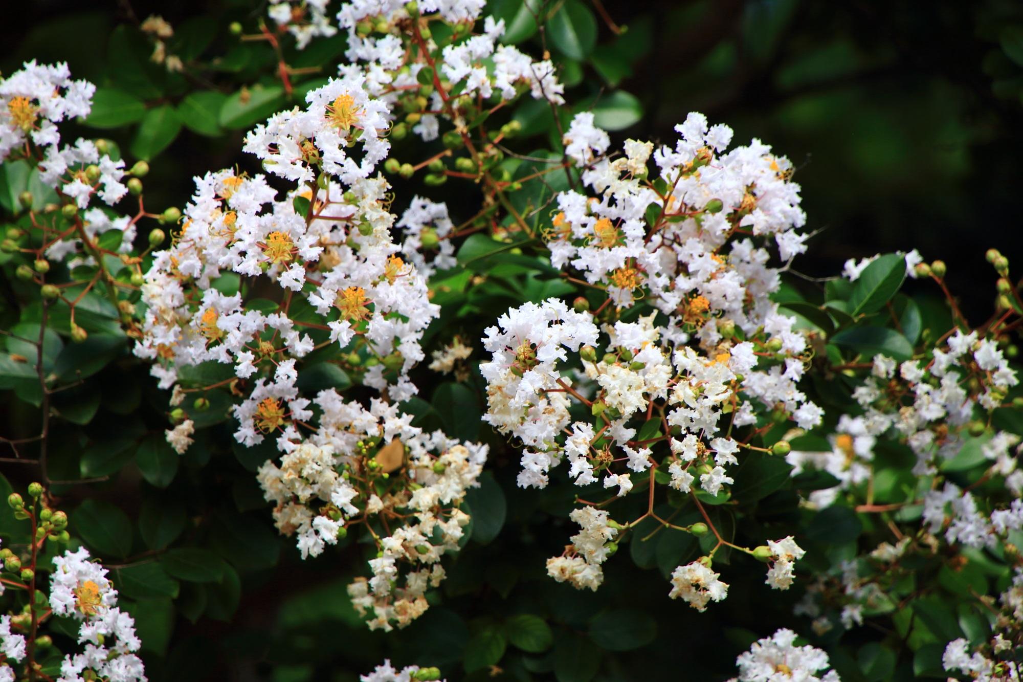 華やかな白い花をたくさんつけるサルスベリの木