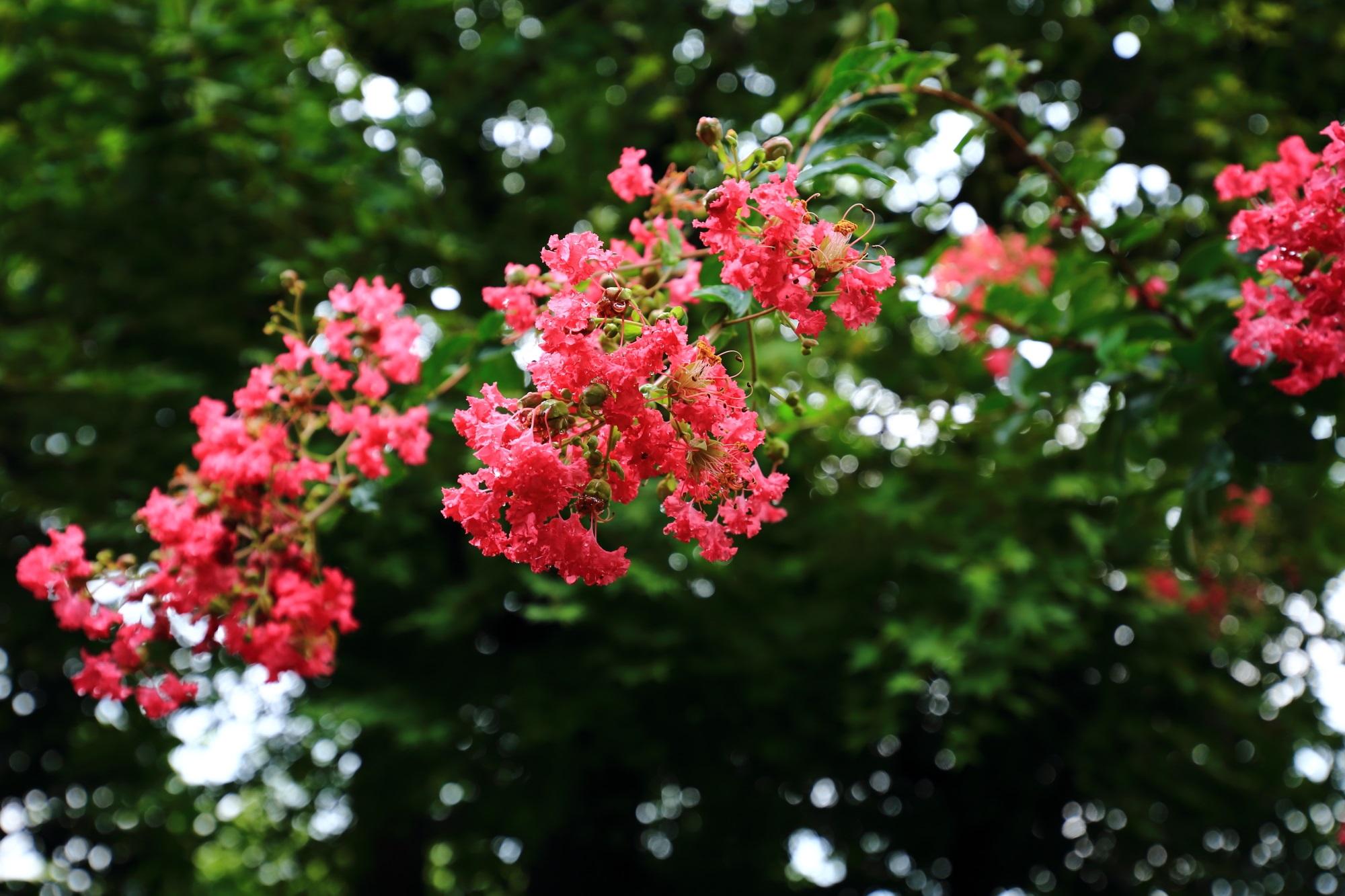 首途八幡宮の真夏を彩る鮮やかなピンクの百日紅の花
