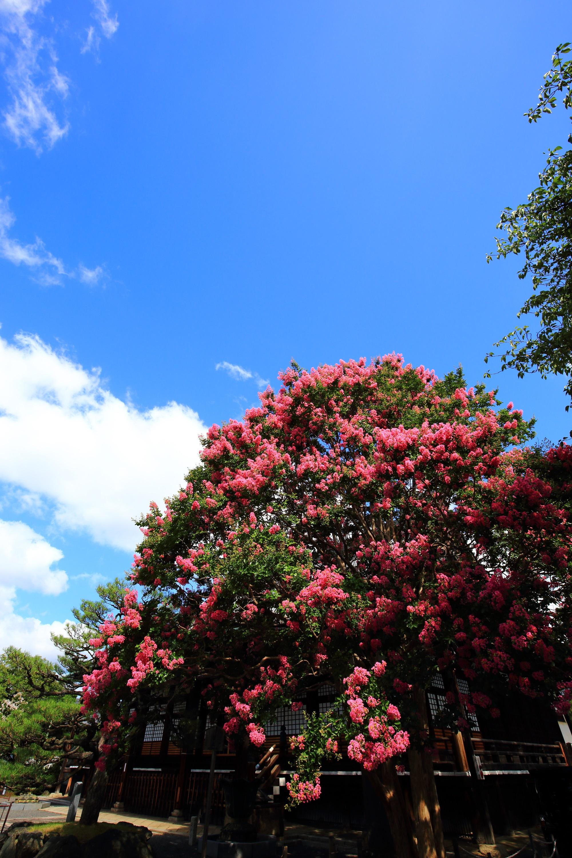 真夏の青空に映える鮮やかなピンクの百日紅