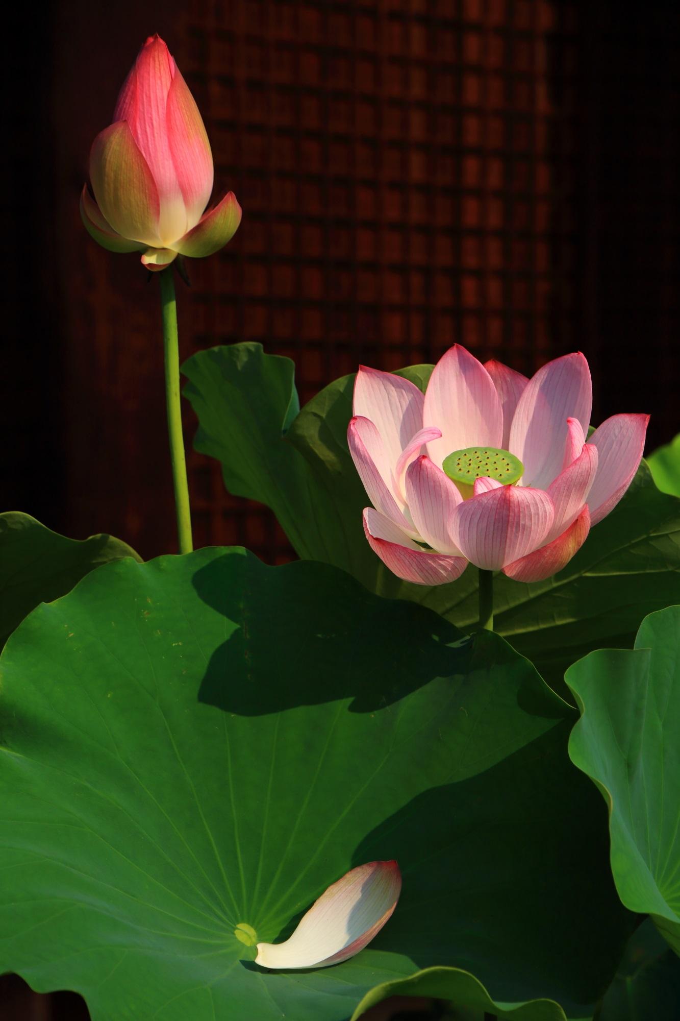 「蕾」「満開」「散り」と蓮の花の一生を表現しているような蓮