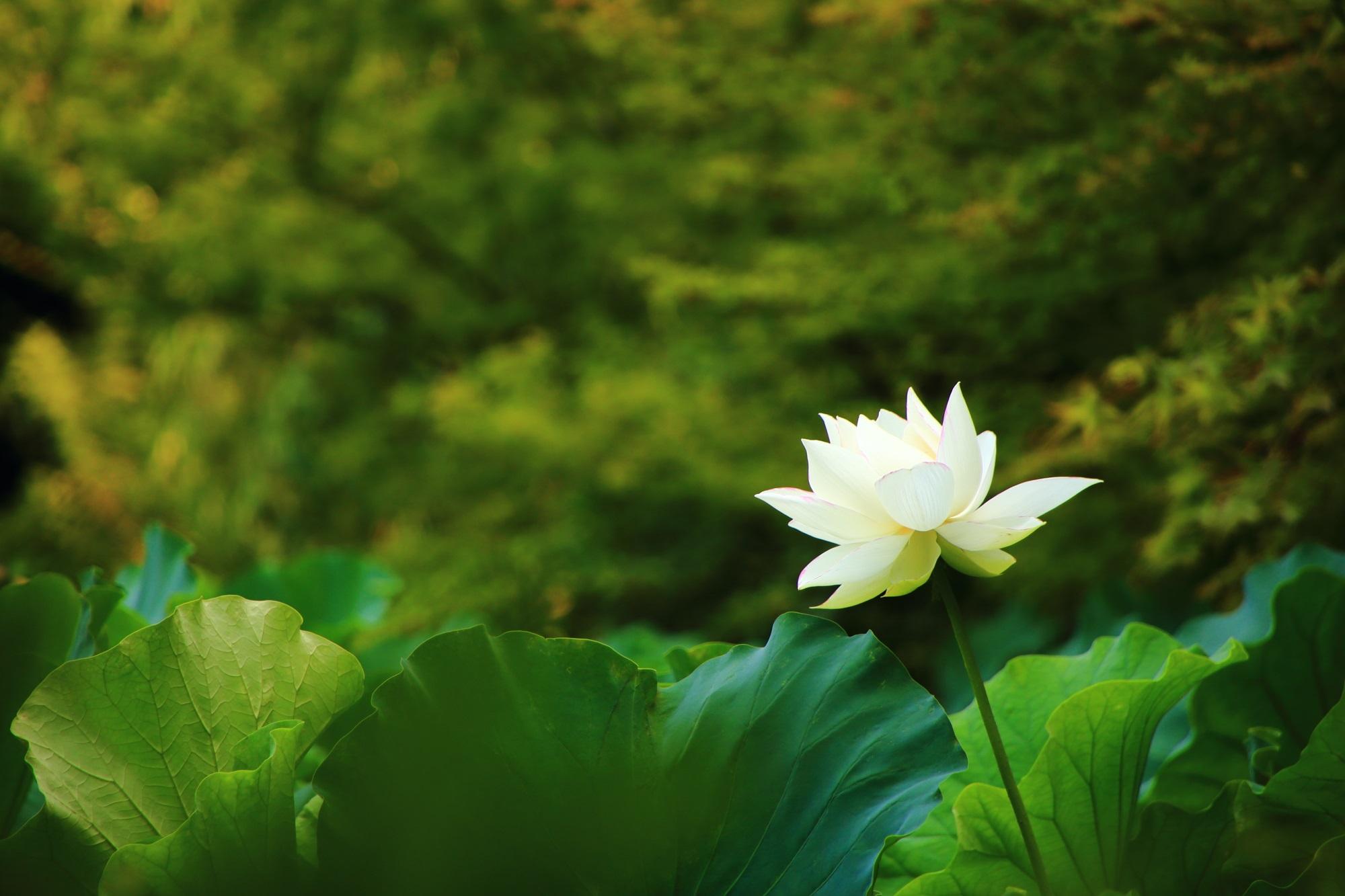 法金剛院の深い緑の上で優雅に咲き誇るほんのり光る蓮の花