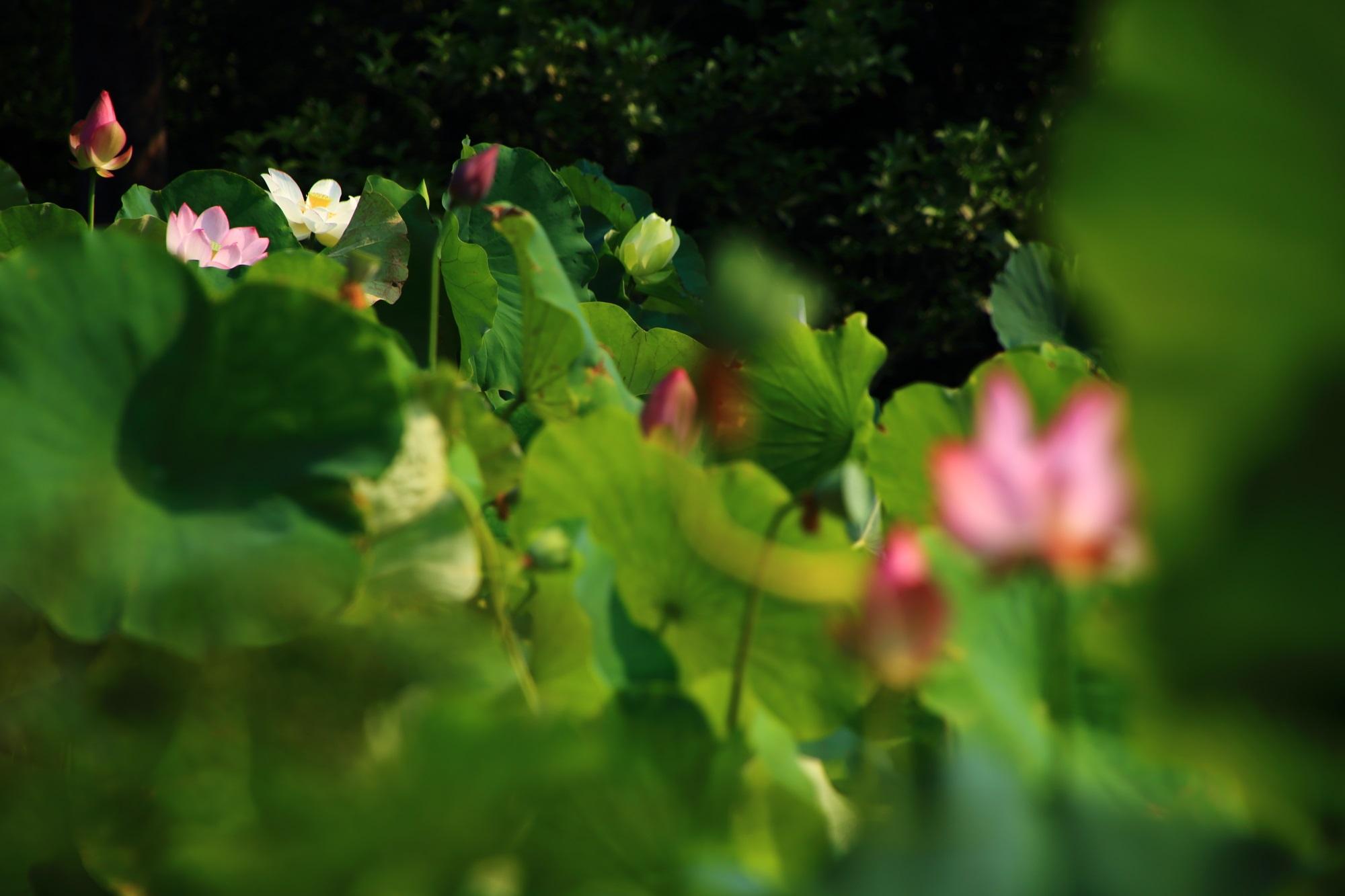 春先に暑い日が多かったため早い時期に見ごろをむかえた法金剛院の蓮