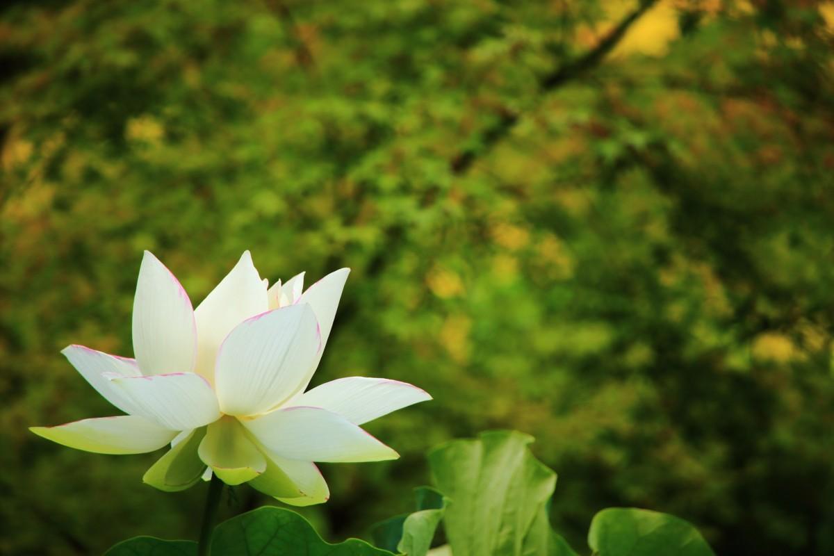 法金剛院の淡い青もみじを背景に咲き誇る白い蓮の花