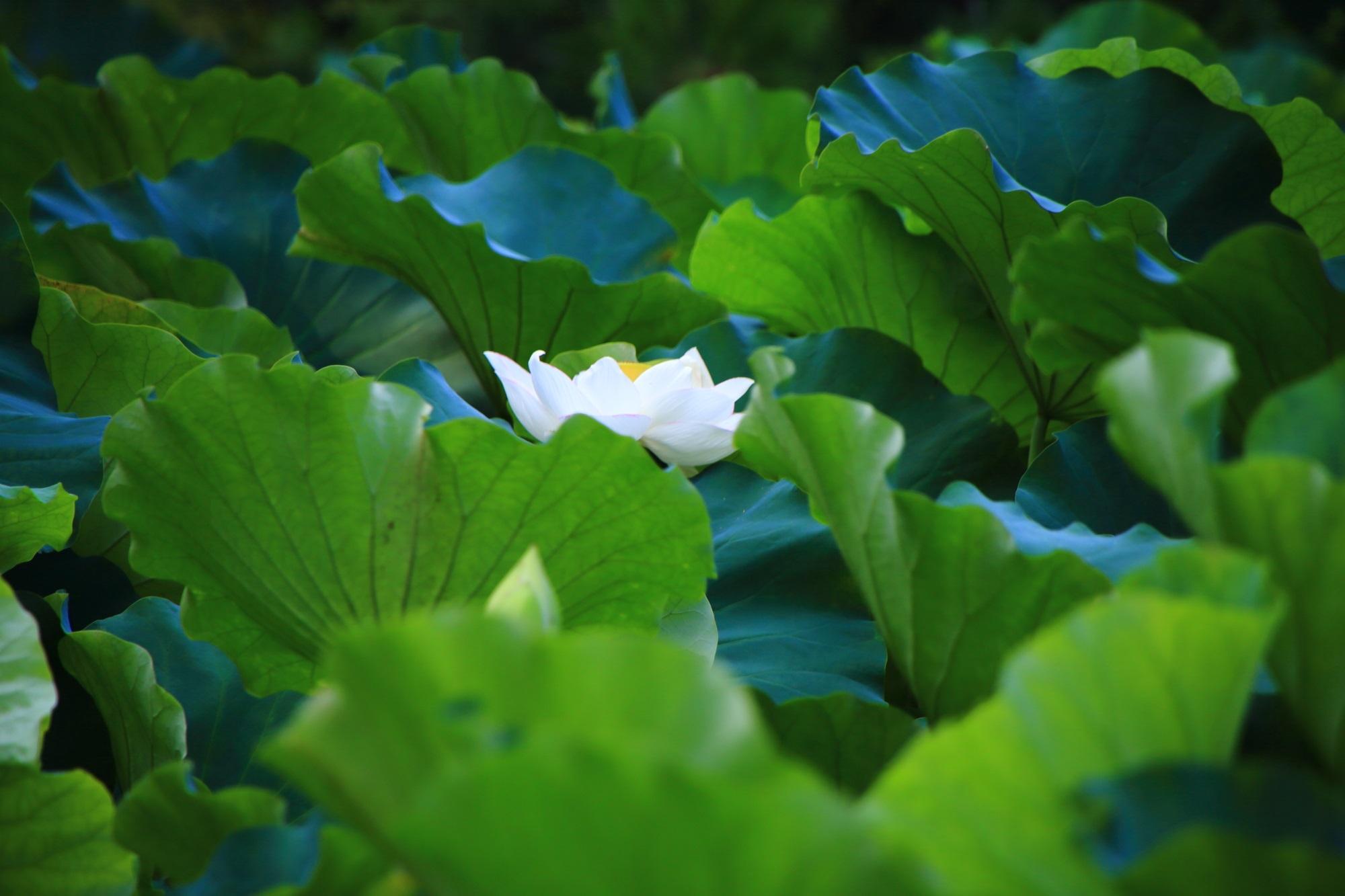 法金剛院の緑の葉の中でほのかに光るような白い蓮の花