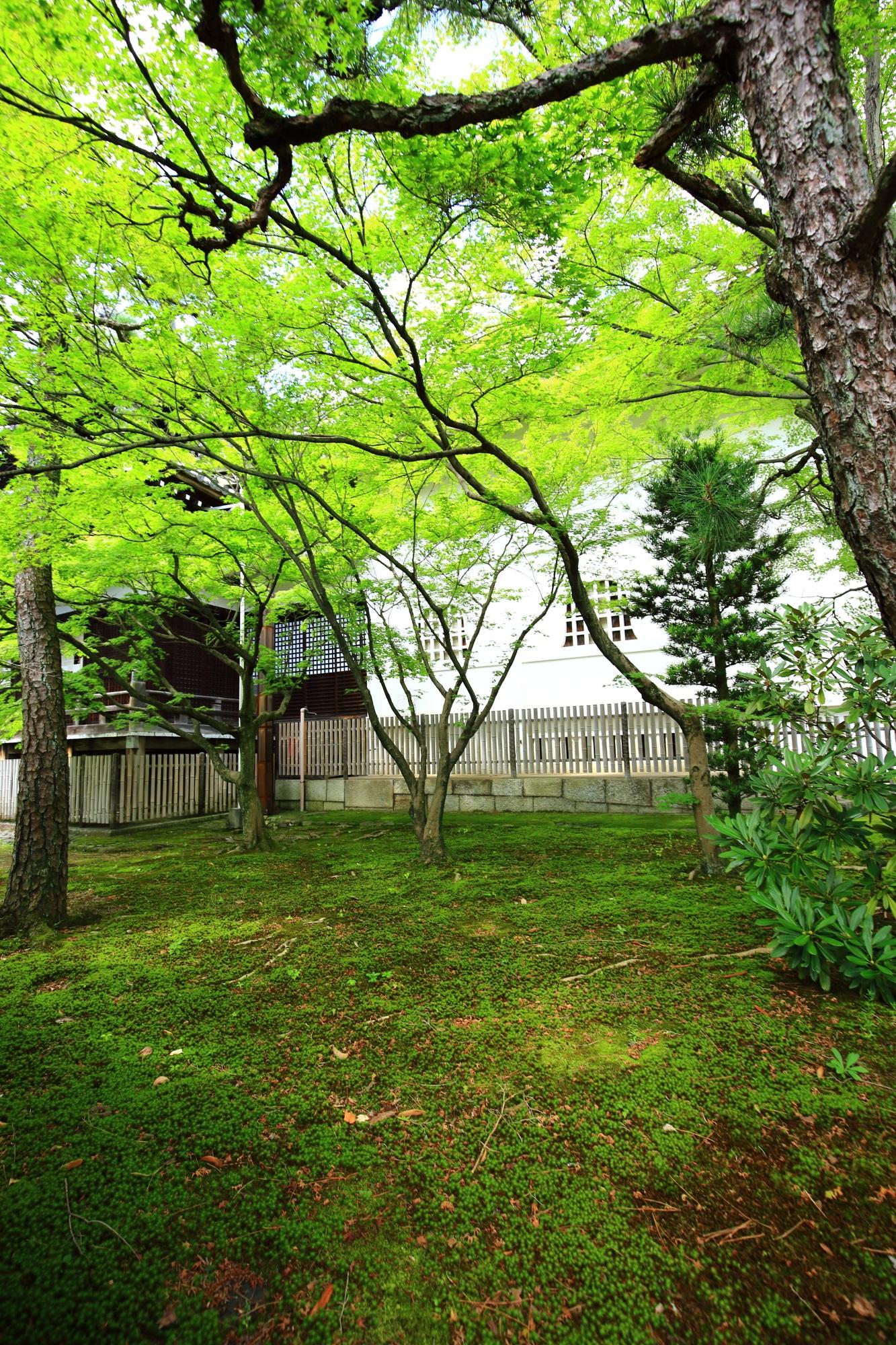 京都浄福寺の本堂横の苔と青もみじ