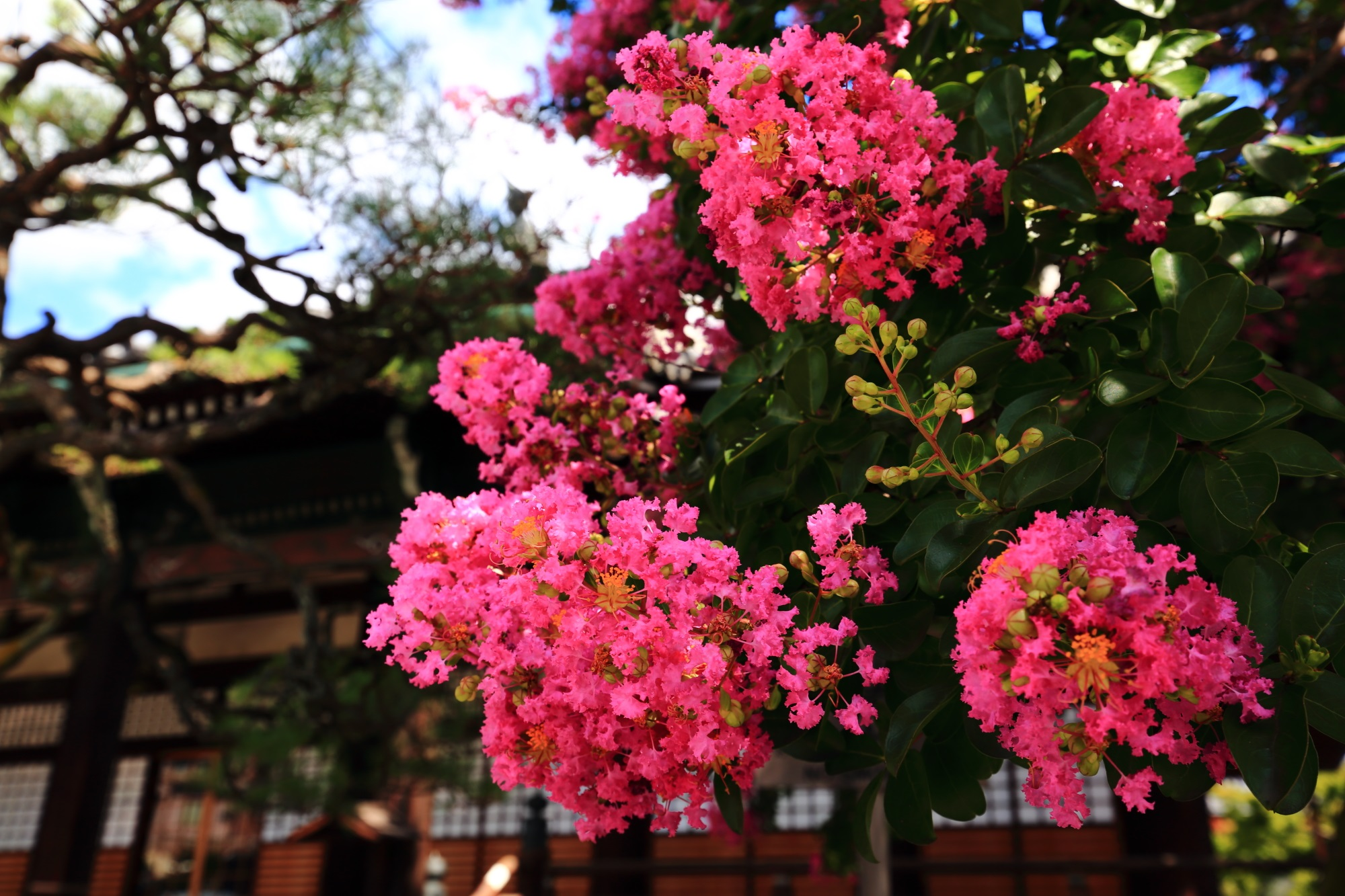 真夏を鮮烈に彩るピンクの花