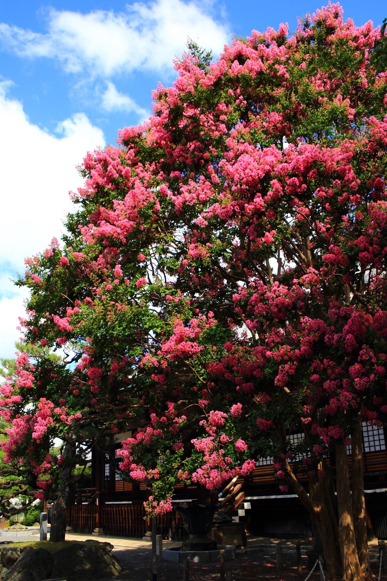本隆寺の圧巻のピンクの百日紅の花