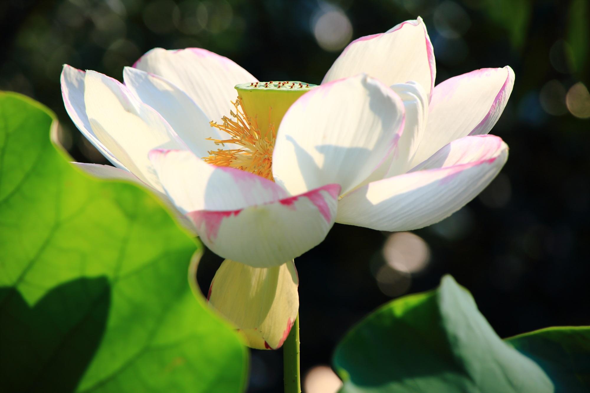 日が差して花びらが透けるような法金剛院のはすの花